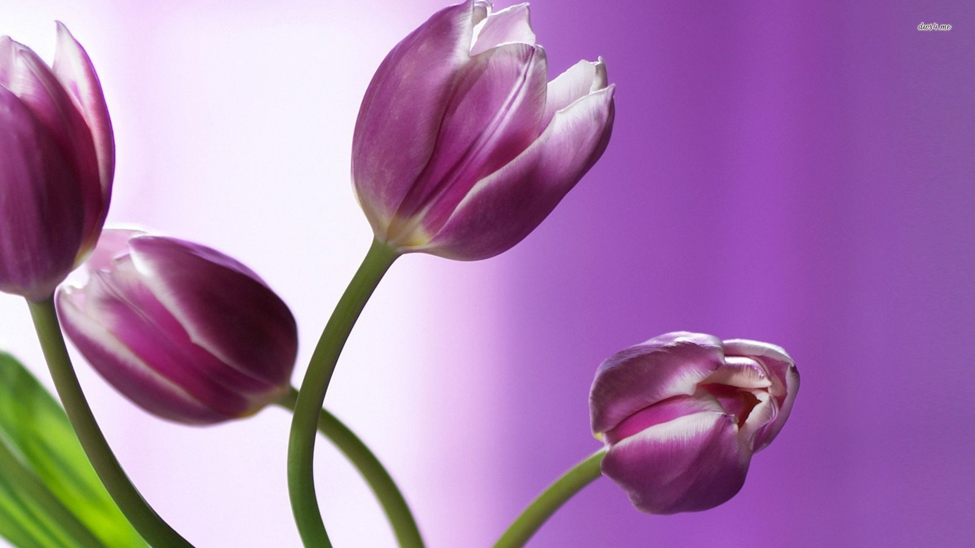 1920x1080 Purple And White Tulips 821369