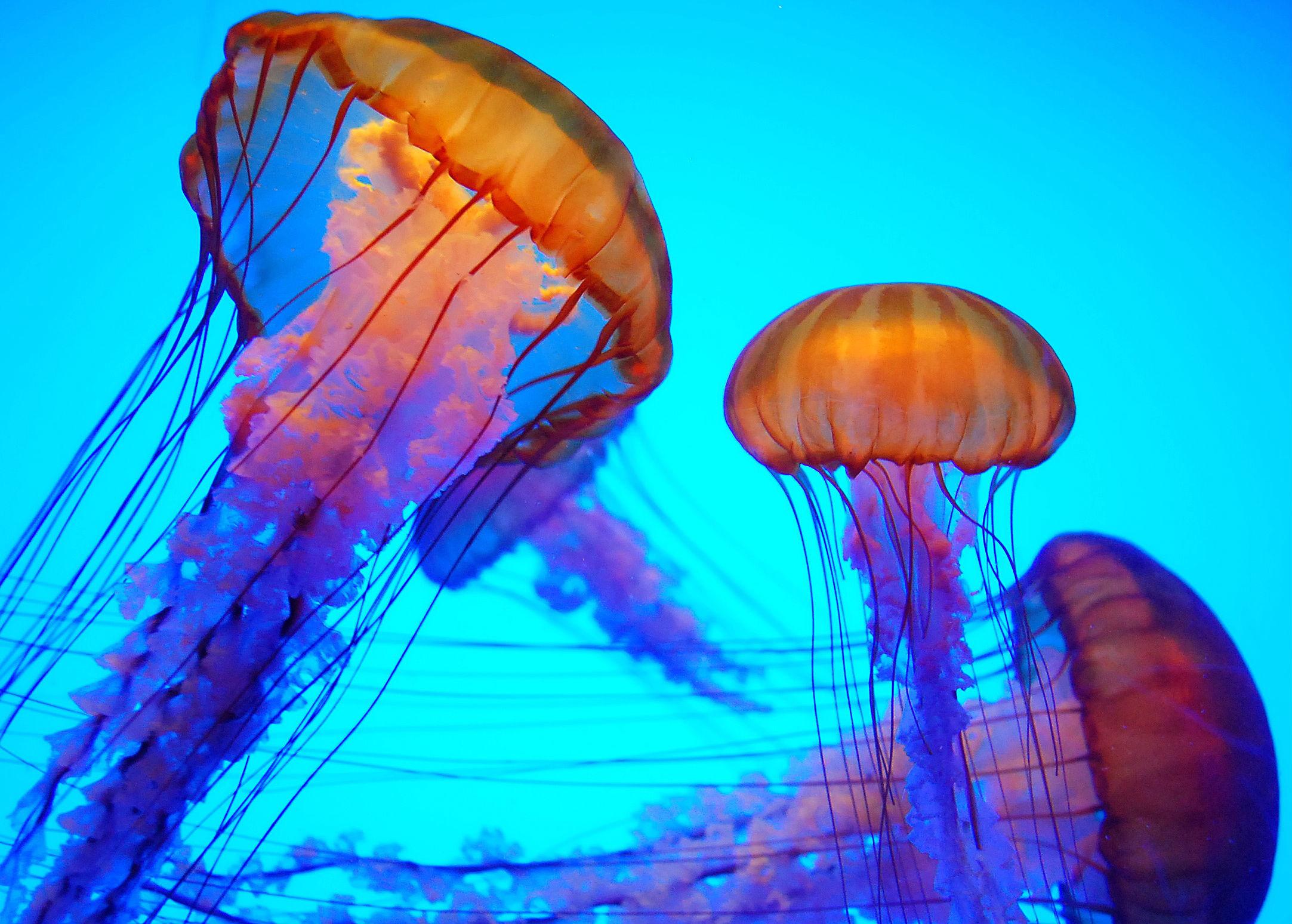 2165x1548 Animal - Jellyfish Wallpaper