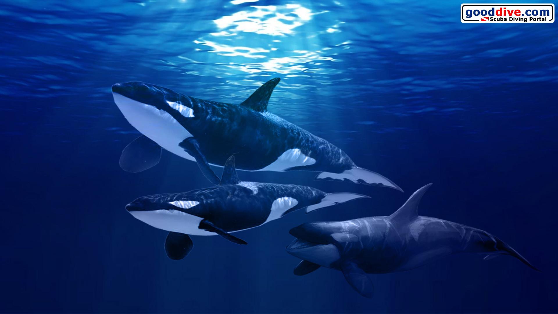Killer whales wallpaper 53 images 2560x1440 altavistaventures Gallery