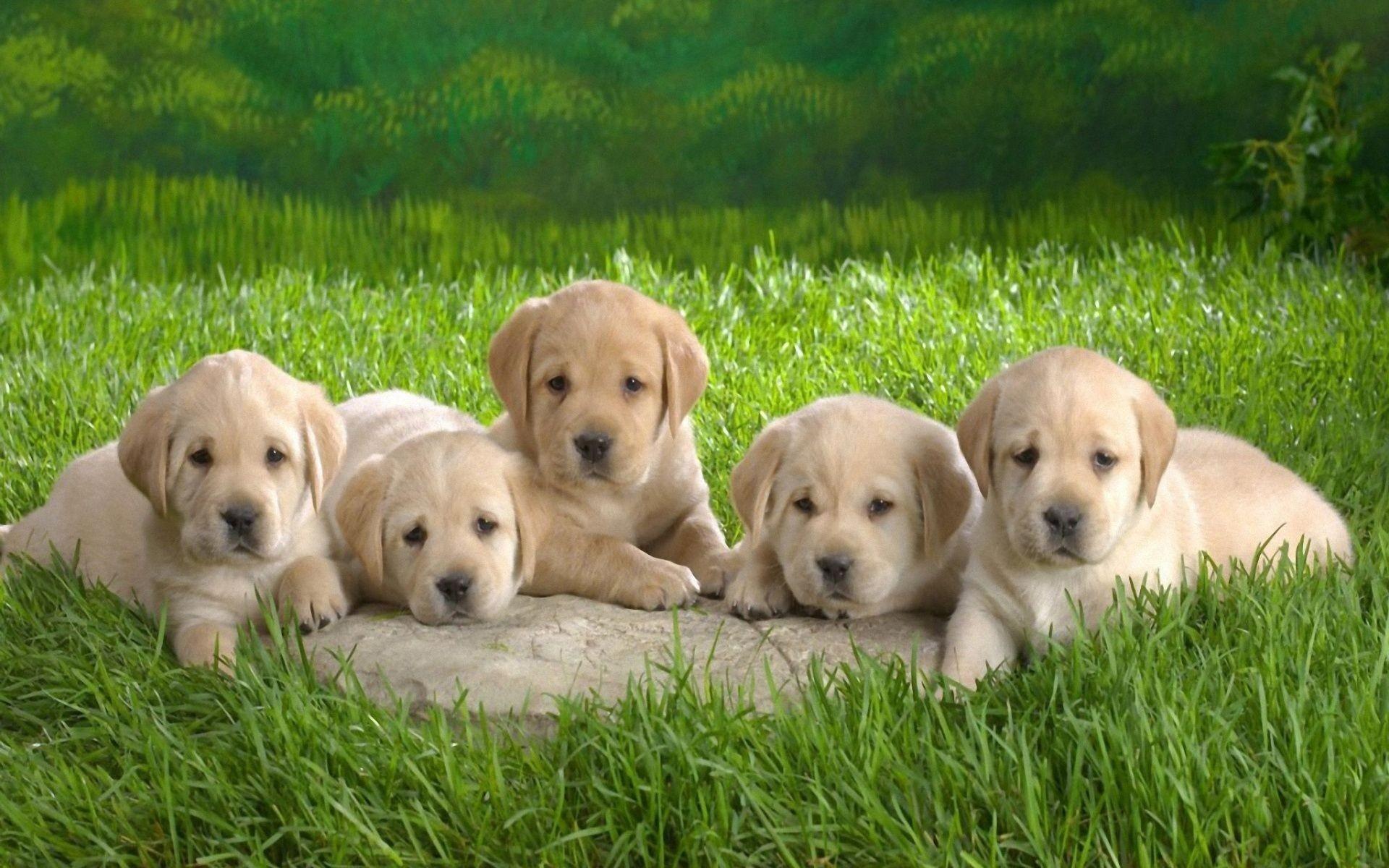 Cute Golden Retriever Puppies Wallpaper 56 Images