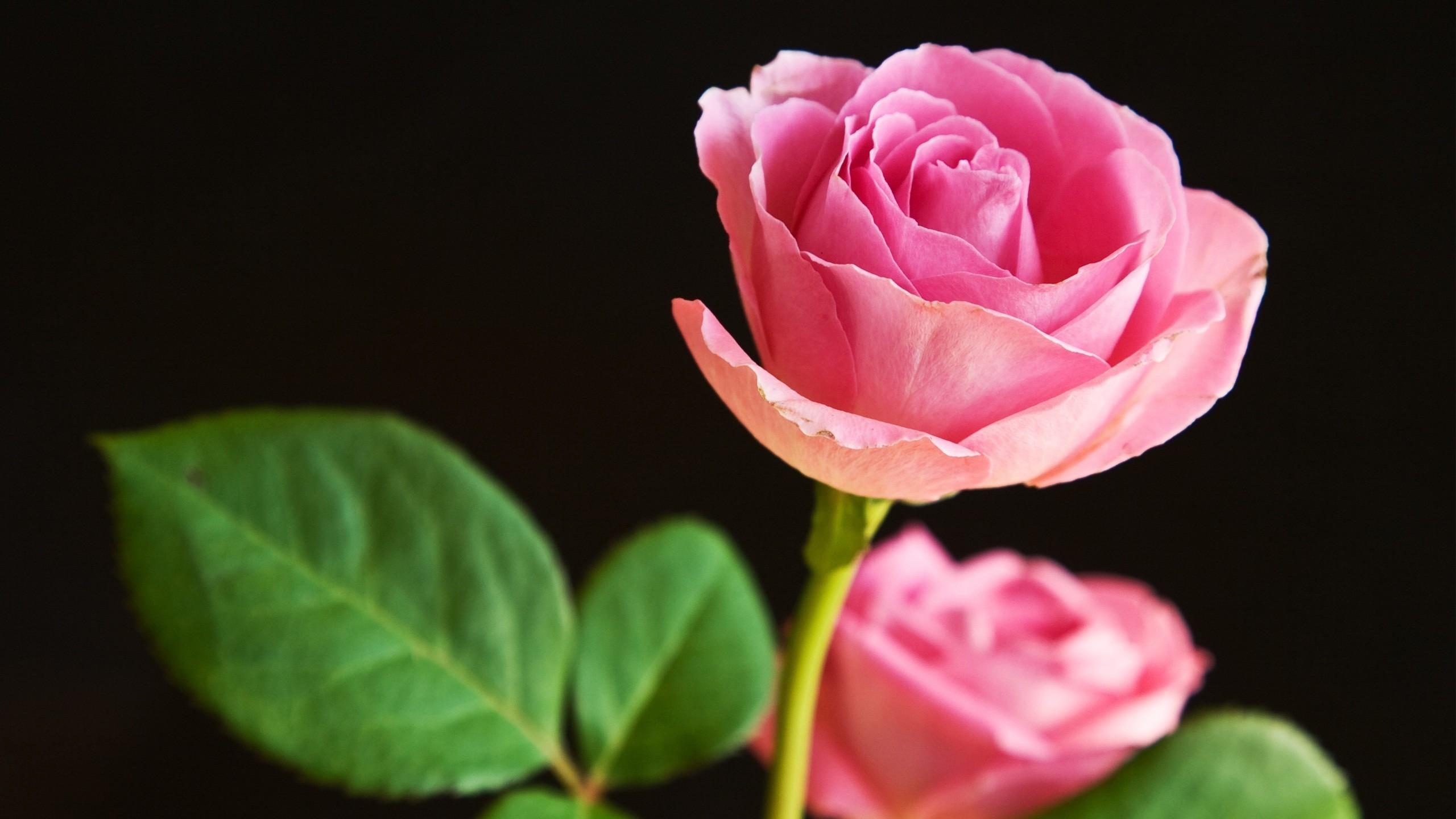 Pink rose flower wallpaper 52 images 2560x1440 2560x1440 beautiful rose flower wallpaper hd free download 1920x1200 izmirmasajfo