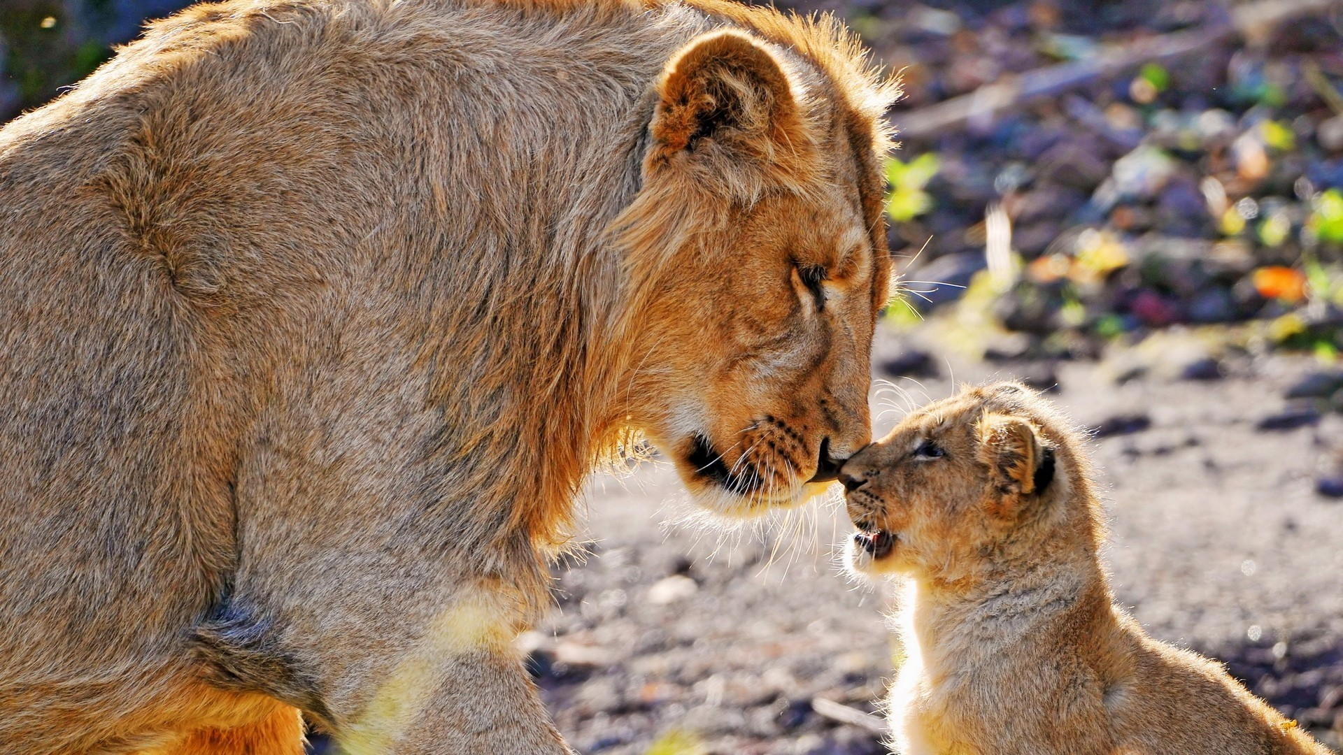 1920x1080  Wallpaper lion, cub, caring, tender, big cats
