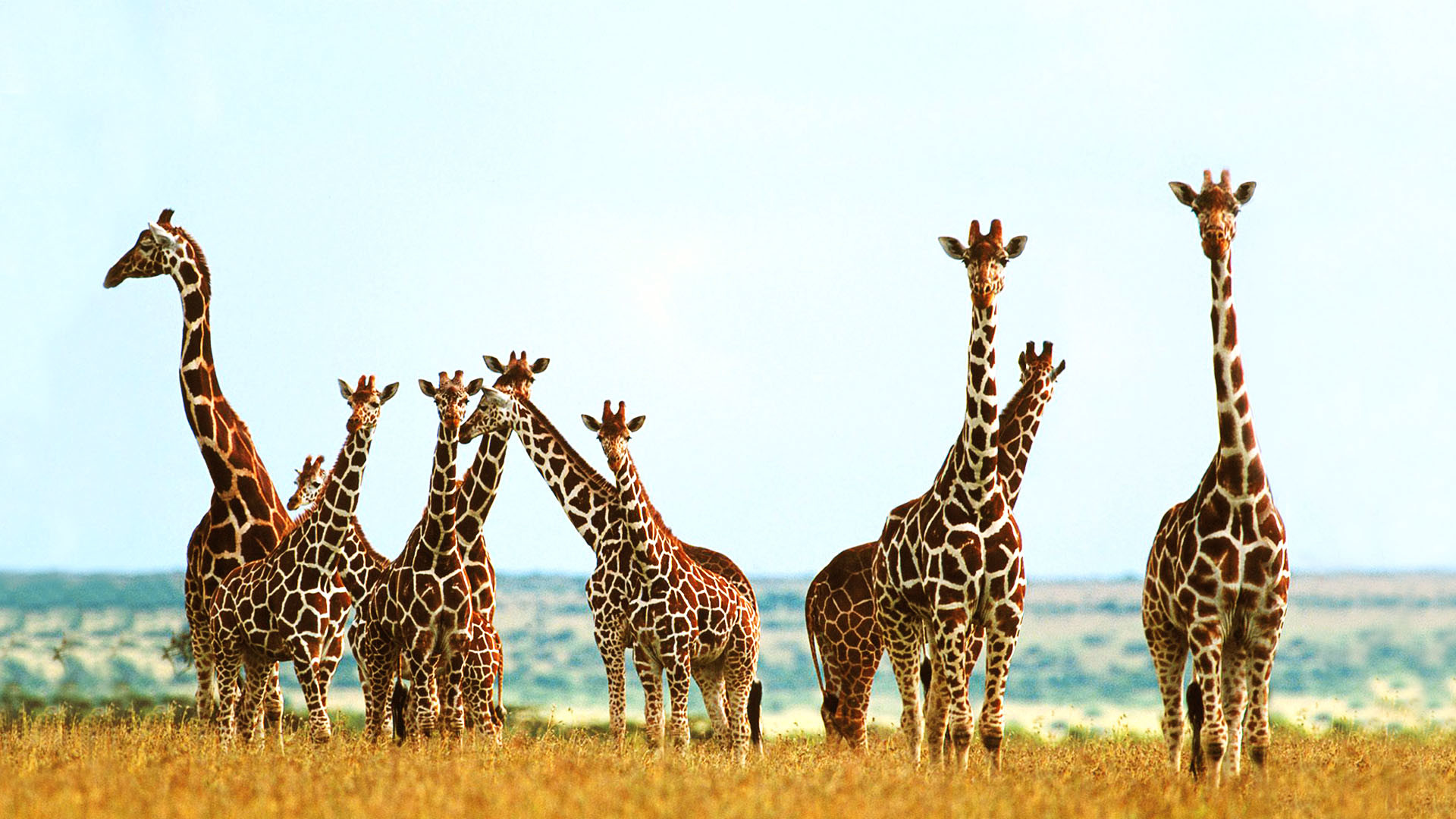 Best Wallpaper Colorful Giraffe - 722612-free-download-giraffes-wallpapers-1920x1080-for-android-40  Image_469440 .jpg