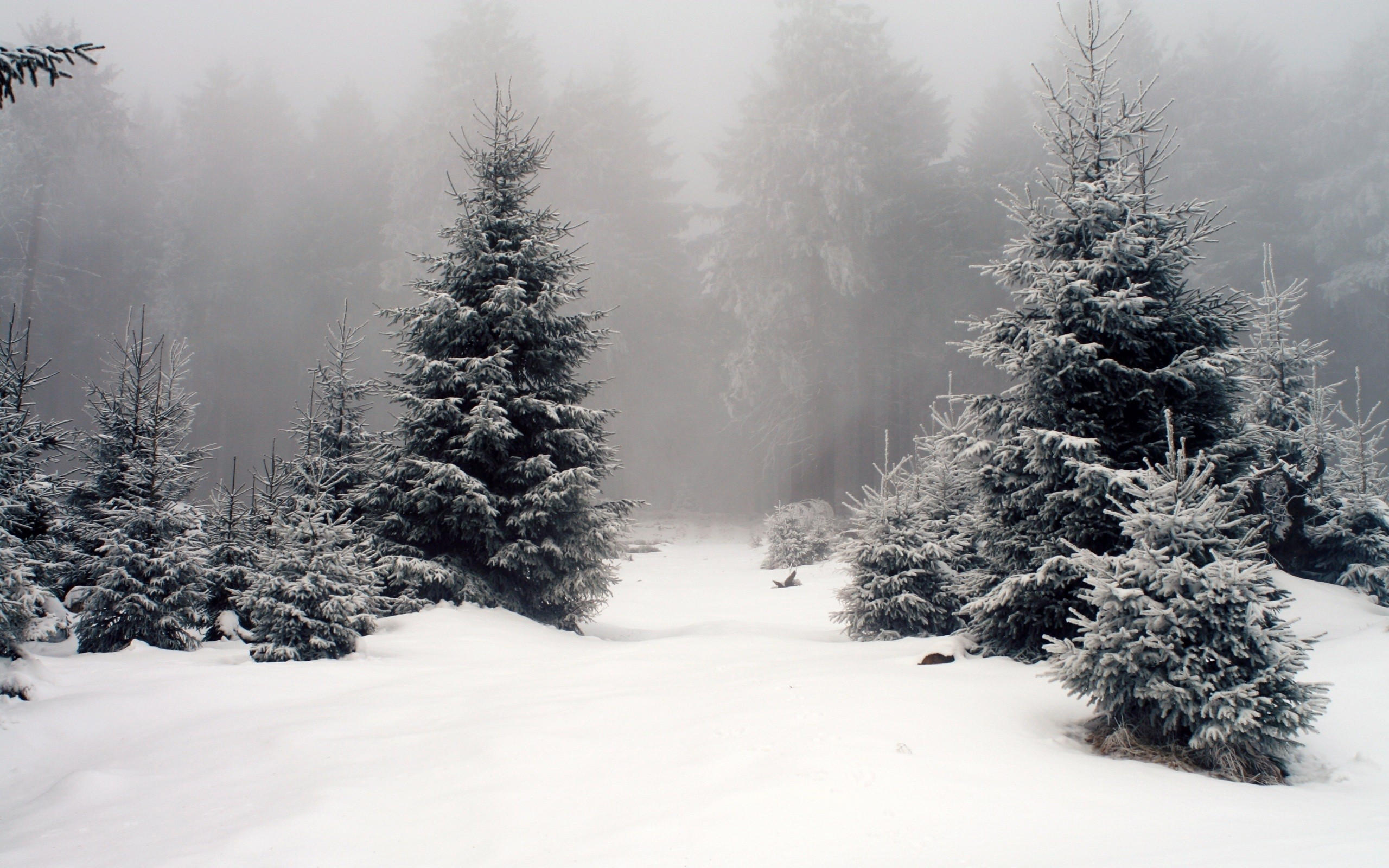2560x1600 foggy winter forest wallpaper 13897