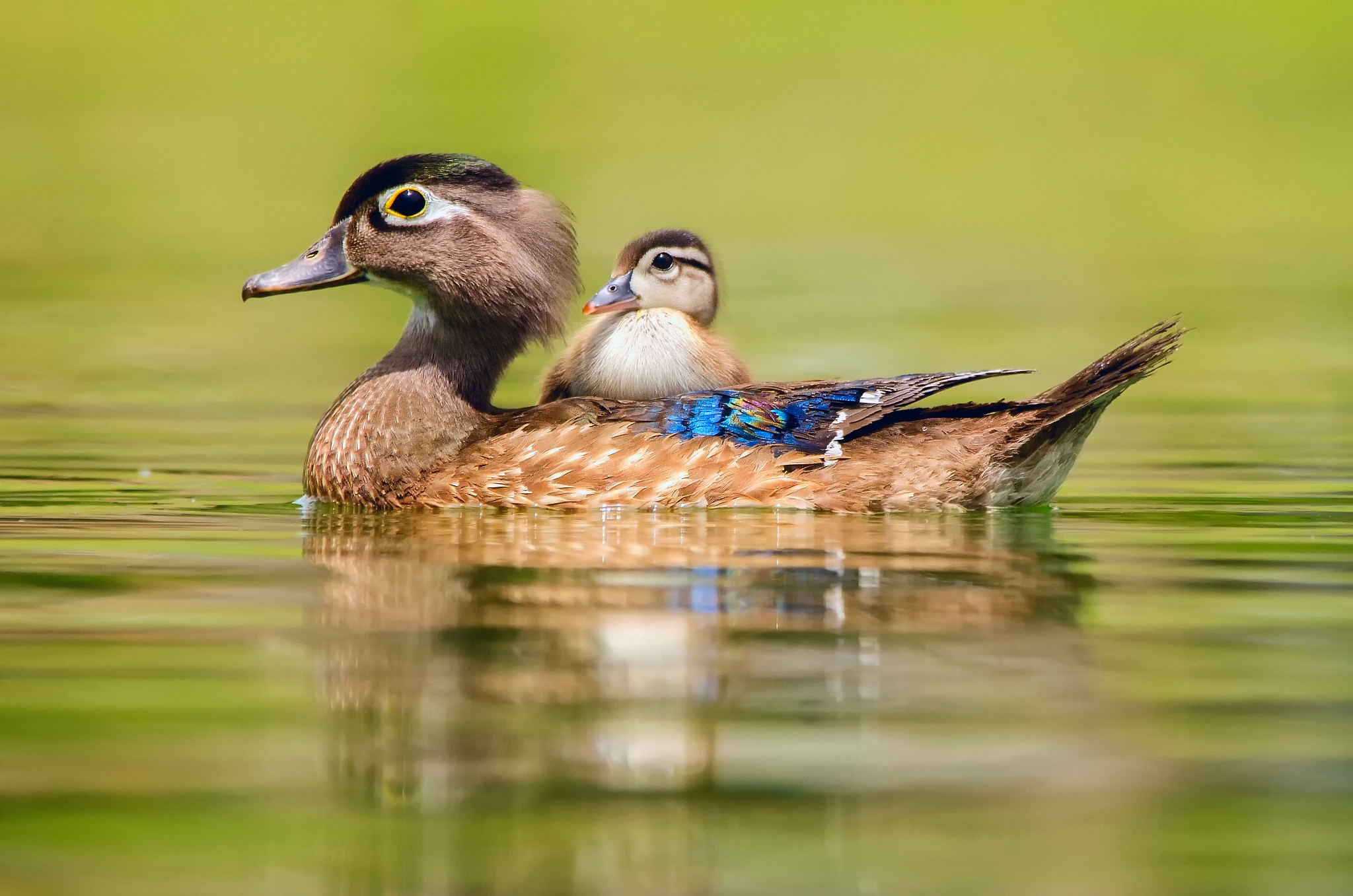 Wood Duck Wallpaper 51 Images