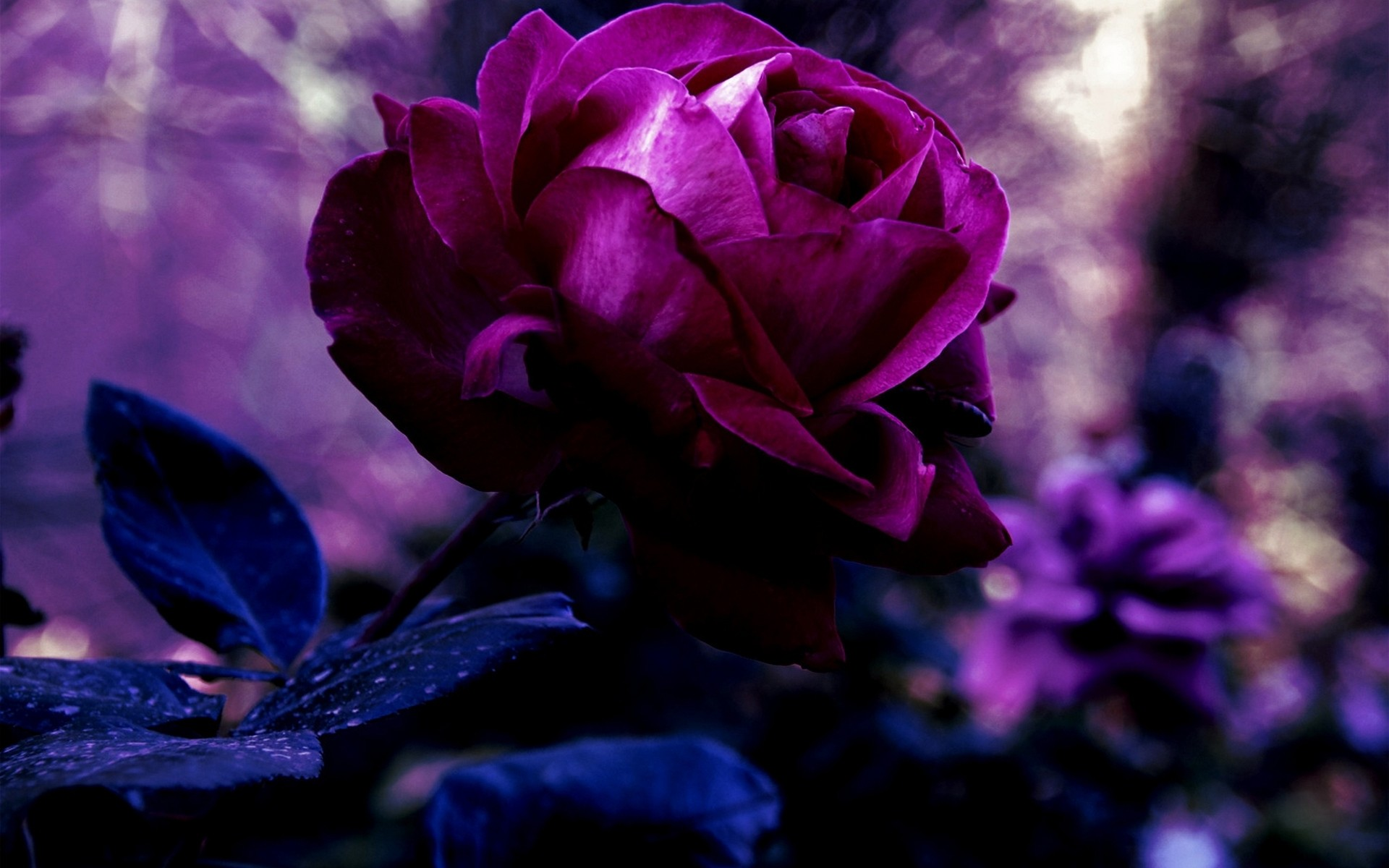 1920x1200 ... Purple Rose Wallpapers, HD Quality Purple Rose Backgrounds #46SP ...