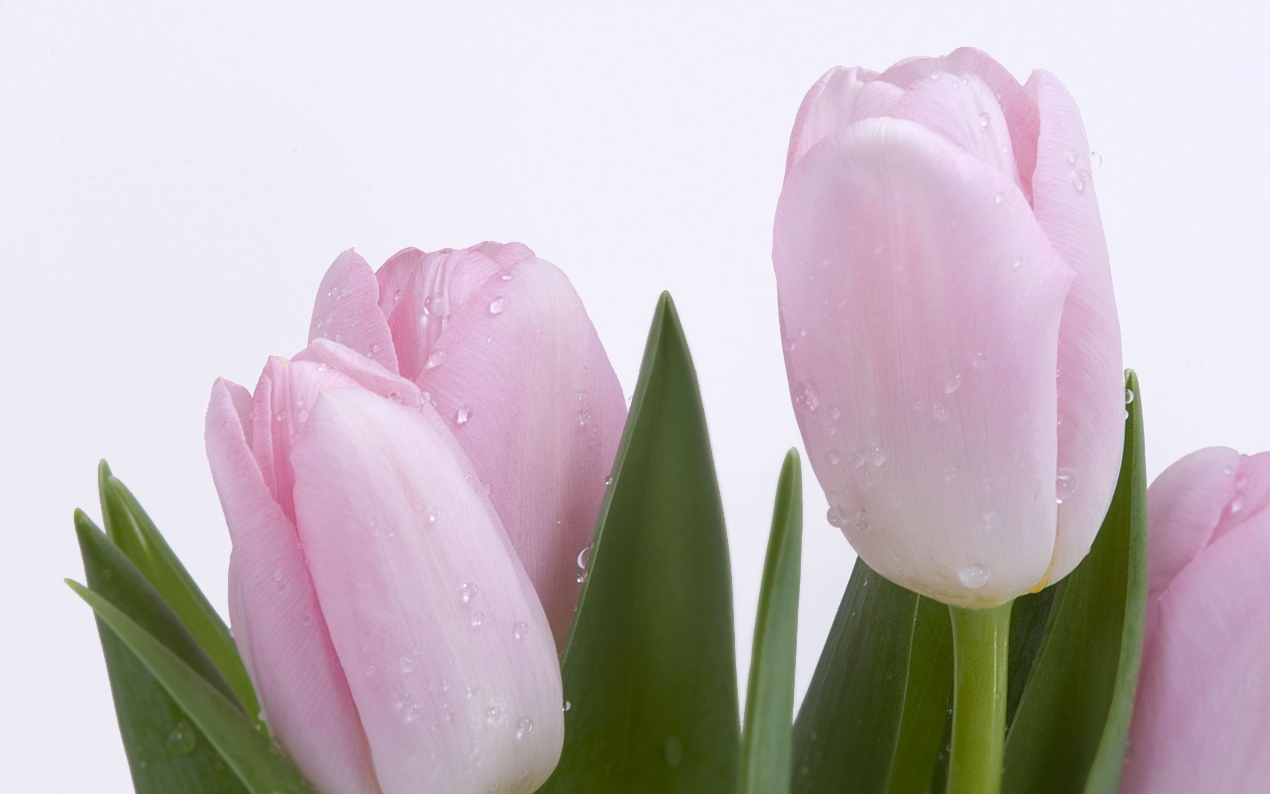 2560x1600 Pink Fresh Tulips Wallpaper Flowers Nature Wallpapers