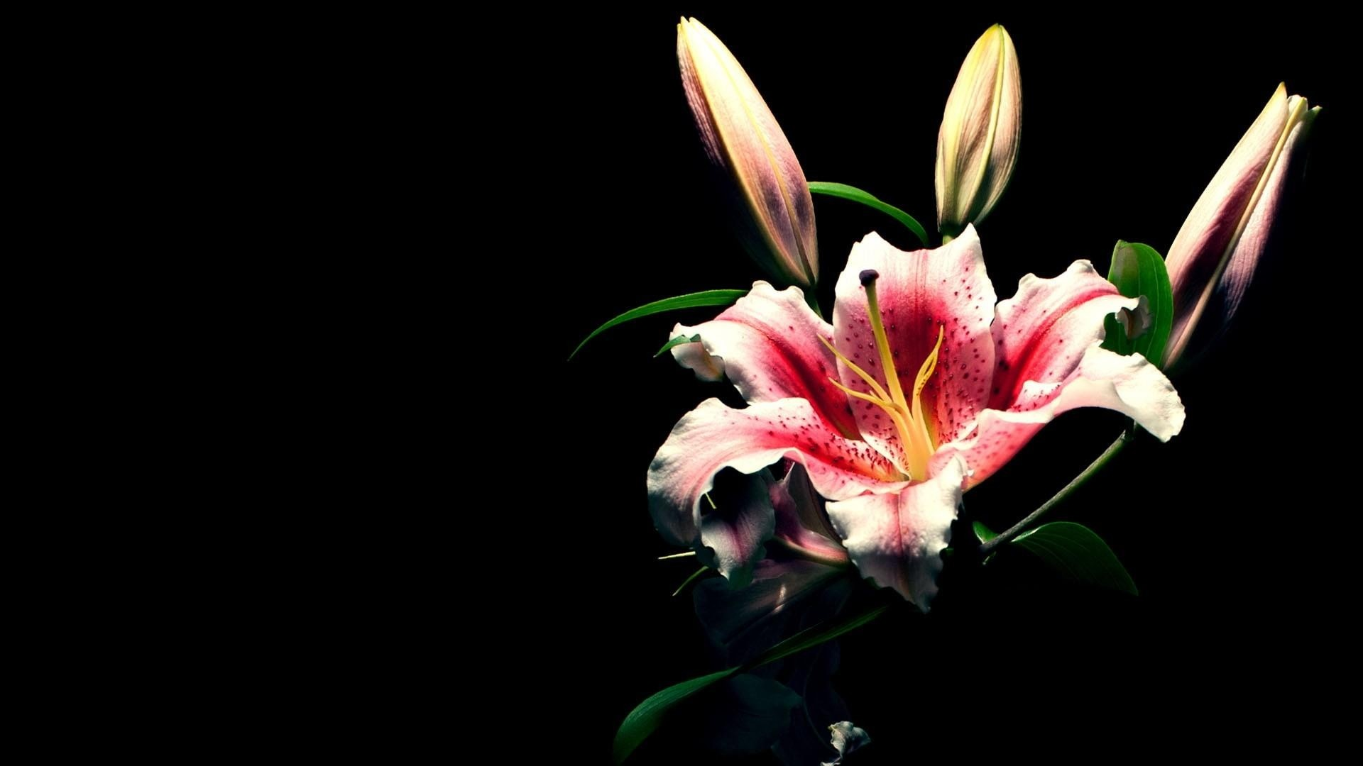 Lily wallpaper 63 images 1920x1080 preview wallpaper lily flower bud black background 1920x1080 izmirmasajfo