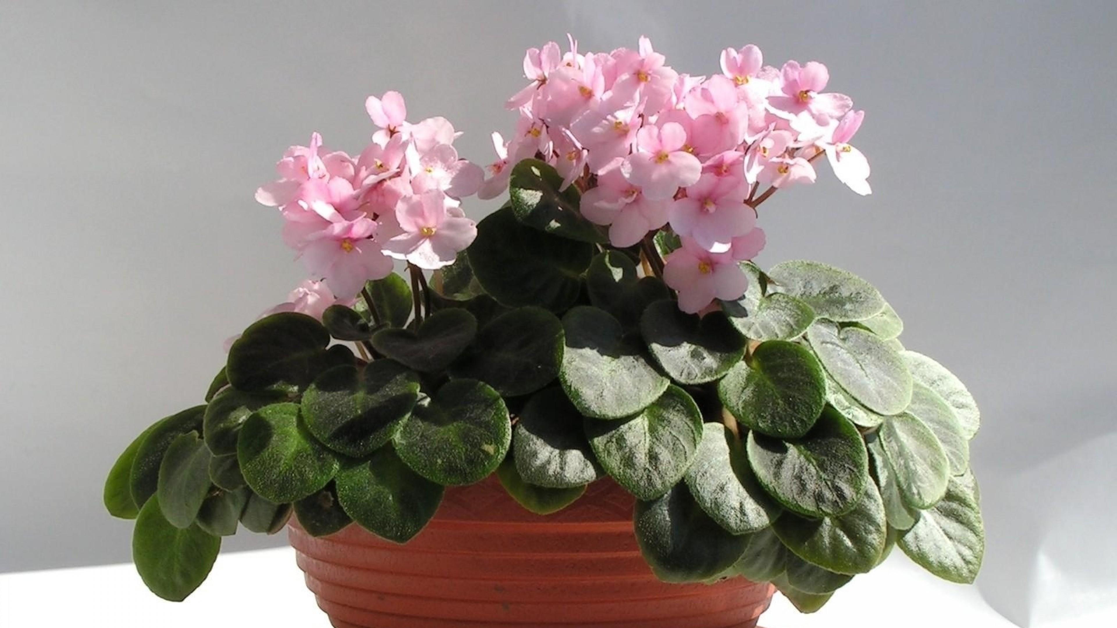 Как подобрать горшки для фиалок, чтобы посадить цветы правильно? 80