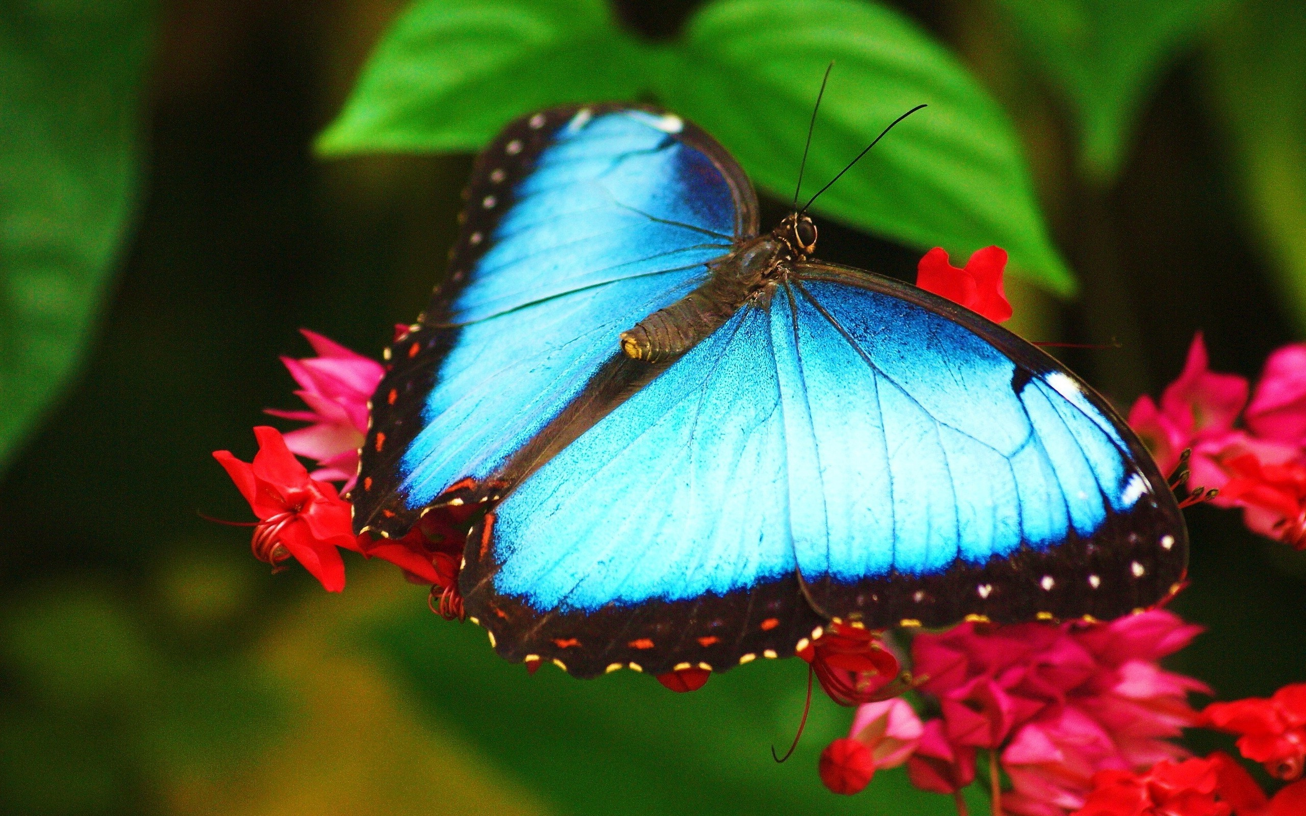 2560x1600 Butterfly Widescreen Wallpaper