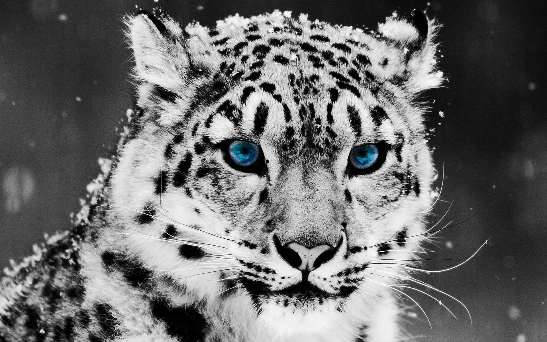 Snow Leopard Wallpaper 72 Images