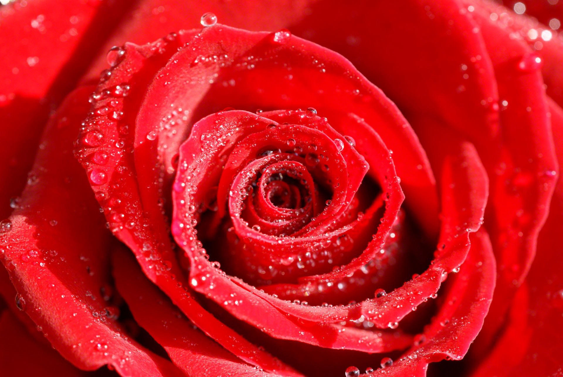 Dark Red Roses Wallpaper 59 Images