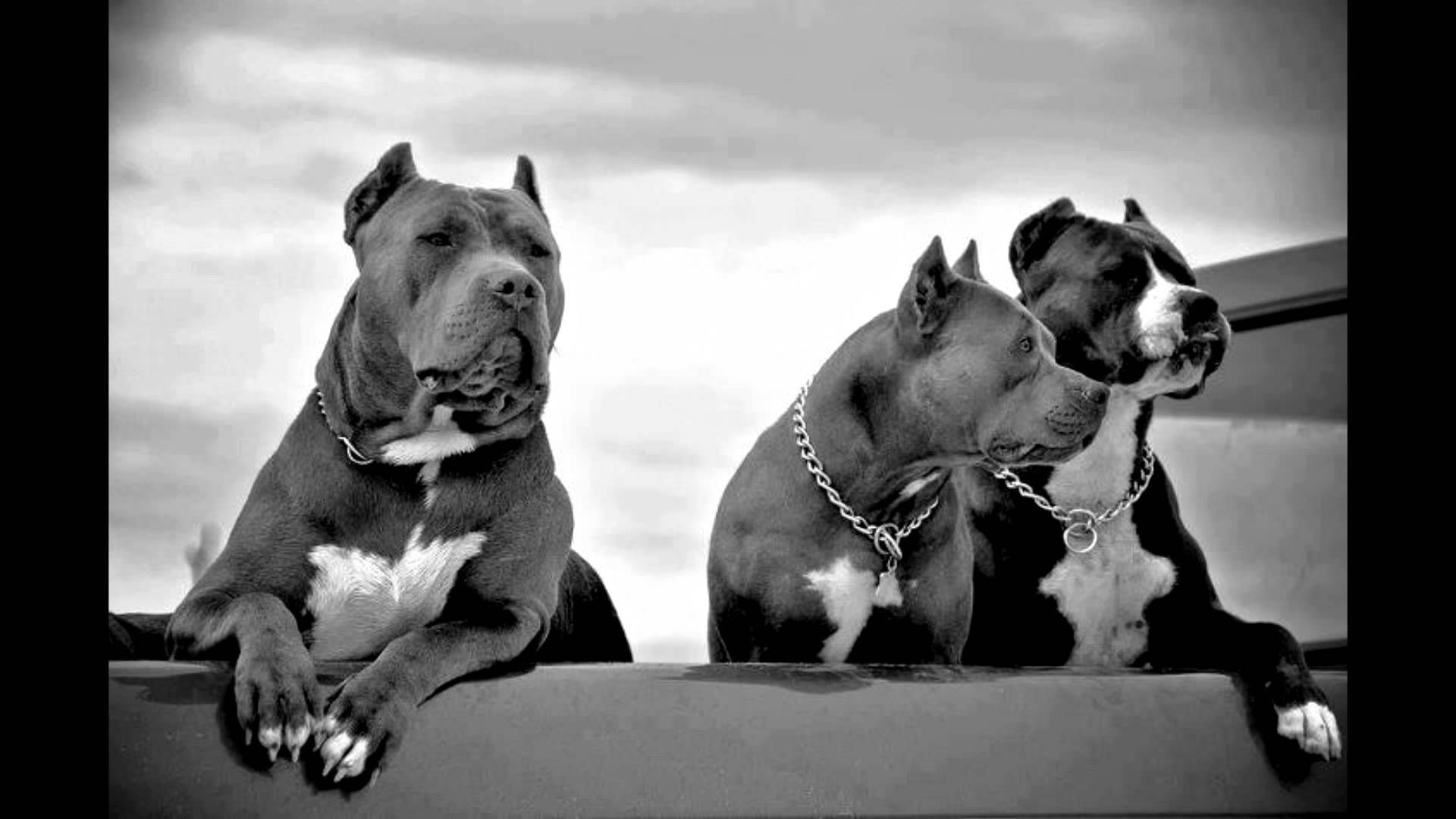 1920x1080 Res: , Pitbull Dog Wallpapers Wallpaper