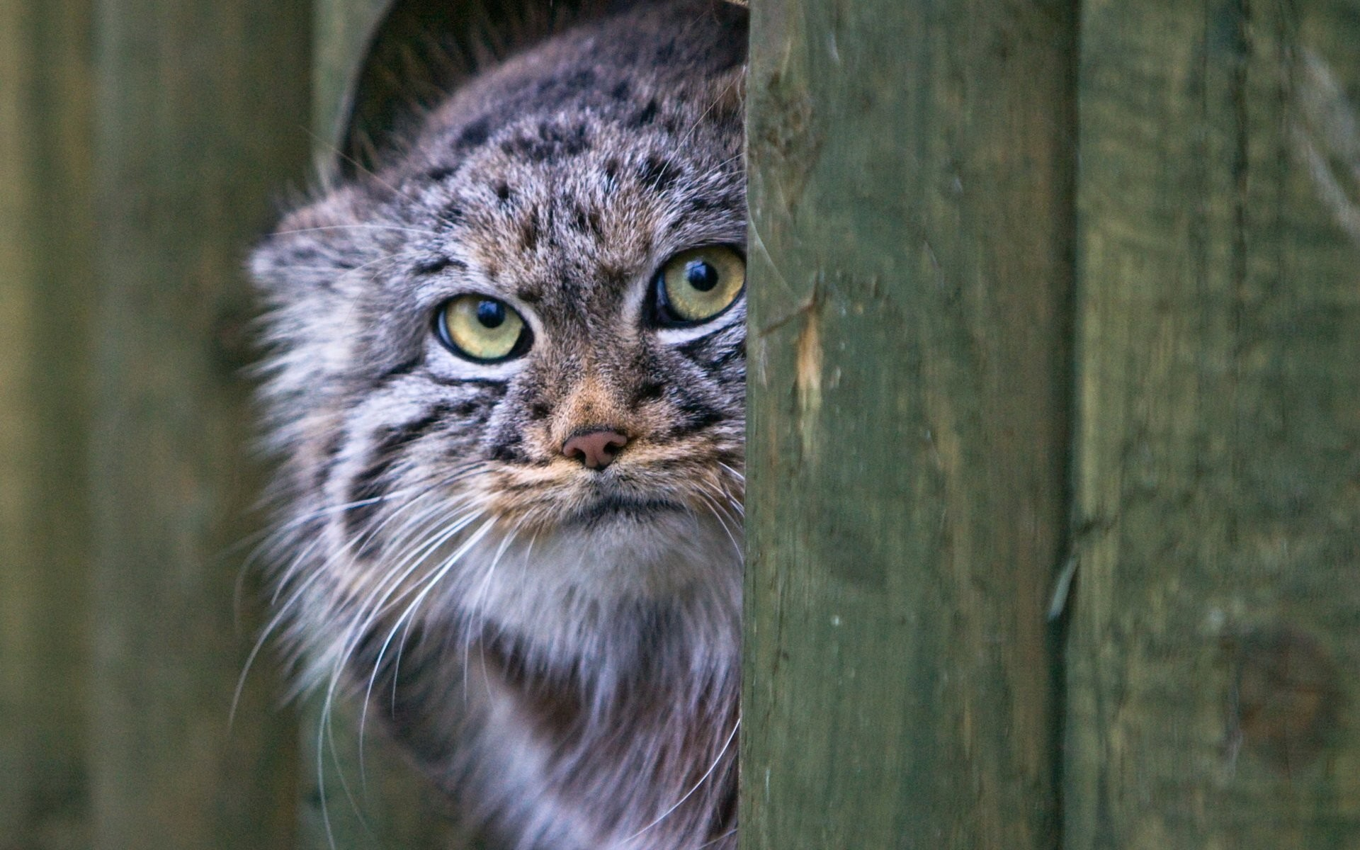 1920x1200 Pallas's Cat Wallpaper 2 - 1920 X 1200