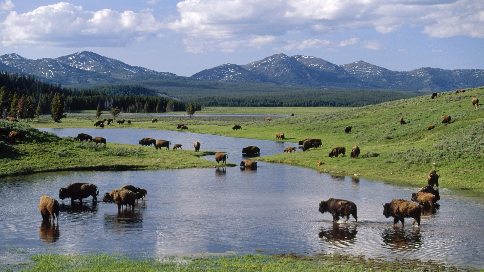 1920x1080 bison, views, background,free images, yellowstone park, windows backgrounds,  cool, wyoming,american, national Wallpaper HD