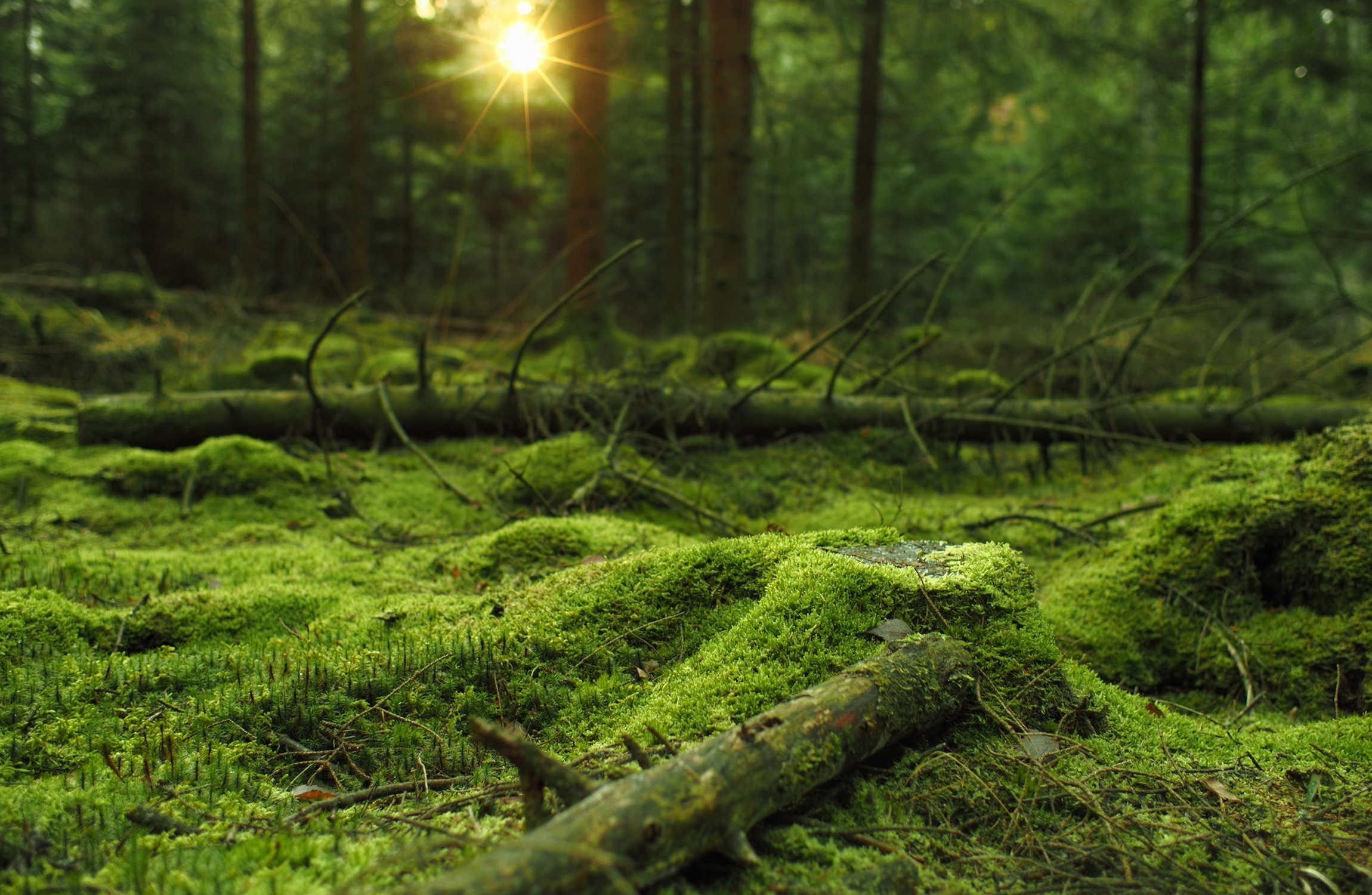2300x1500 Mossy forest HD wallpaper. Download ...