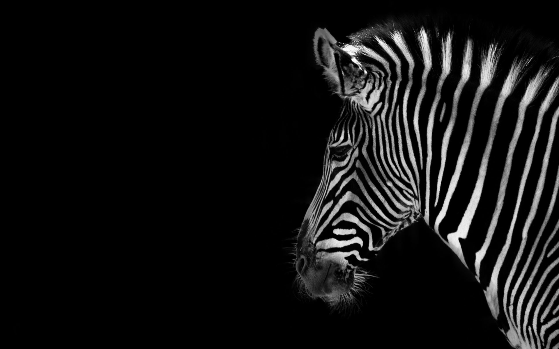 Full Page Pink Zebra Wallpaper 50 Images
