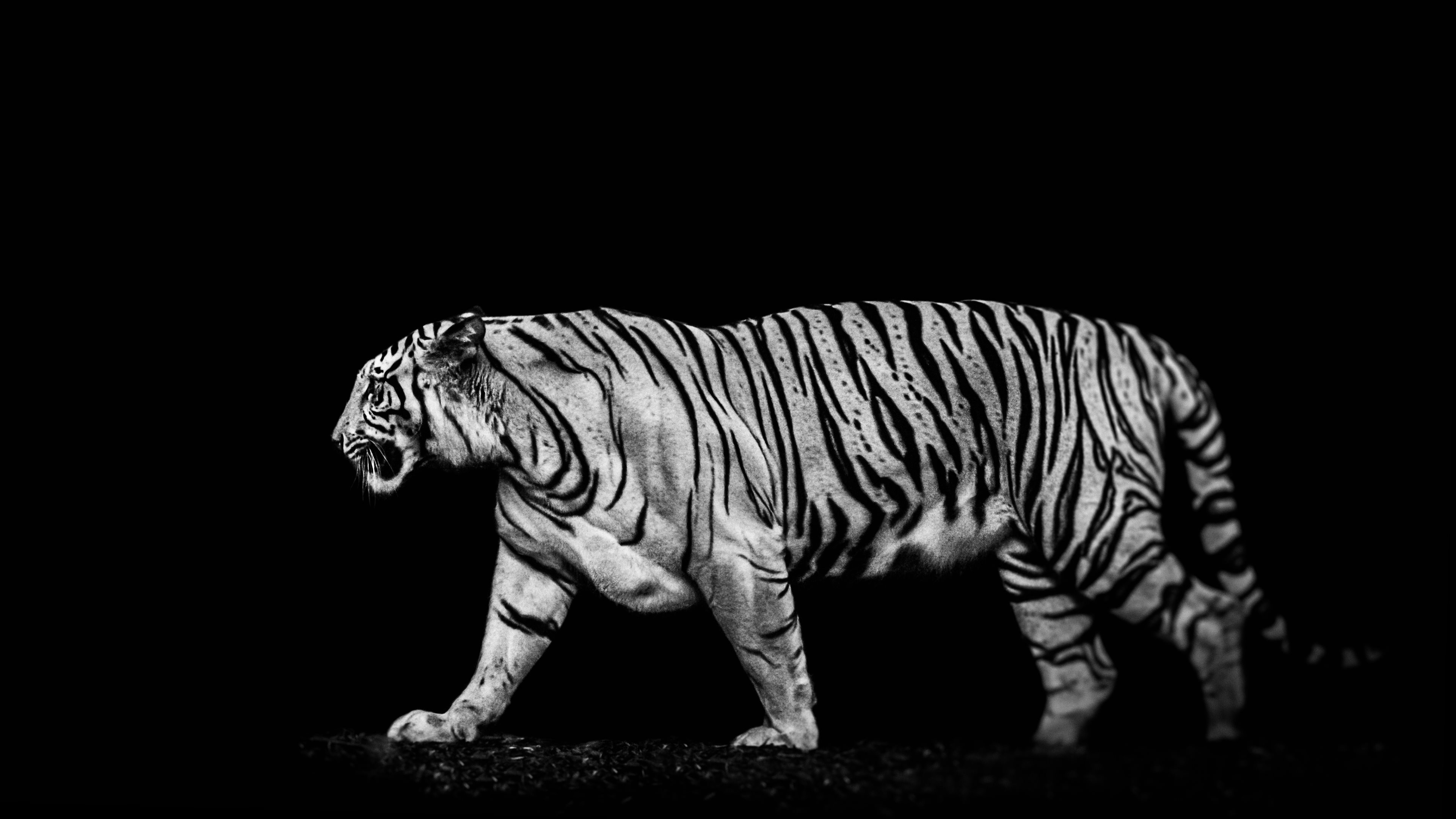 Tigers backgrounds 69 images - White tiger wallpaper free download ...