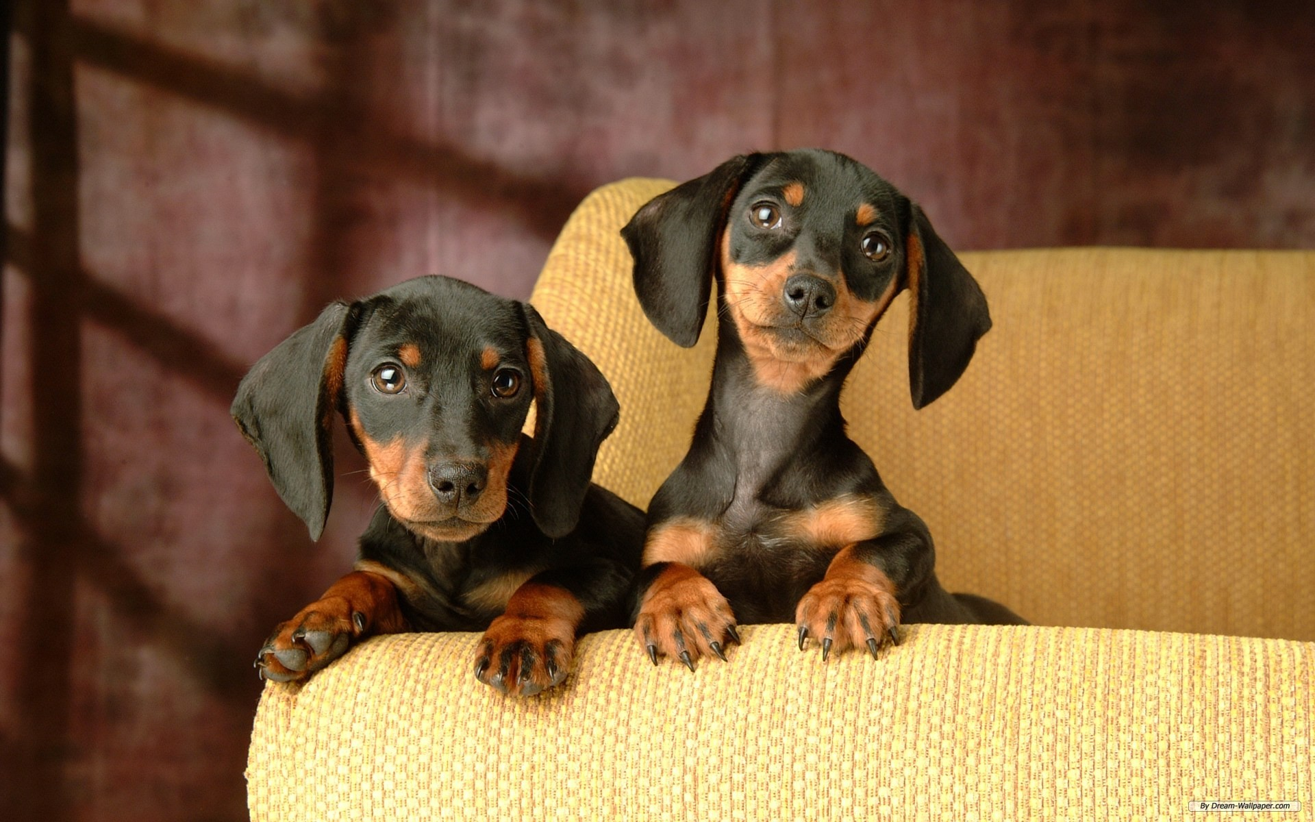1920x1200 Free Animal wallpaper - Miniature Dachshund 2 wallpaper -   wallpaper - Index 1