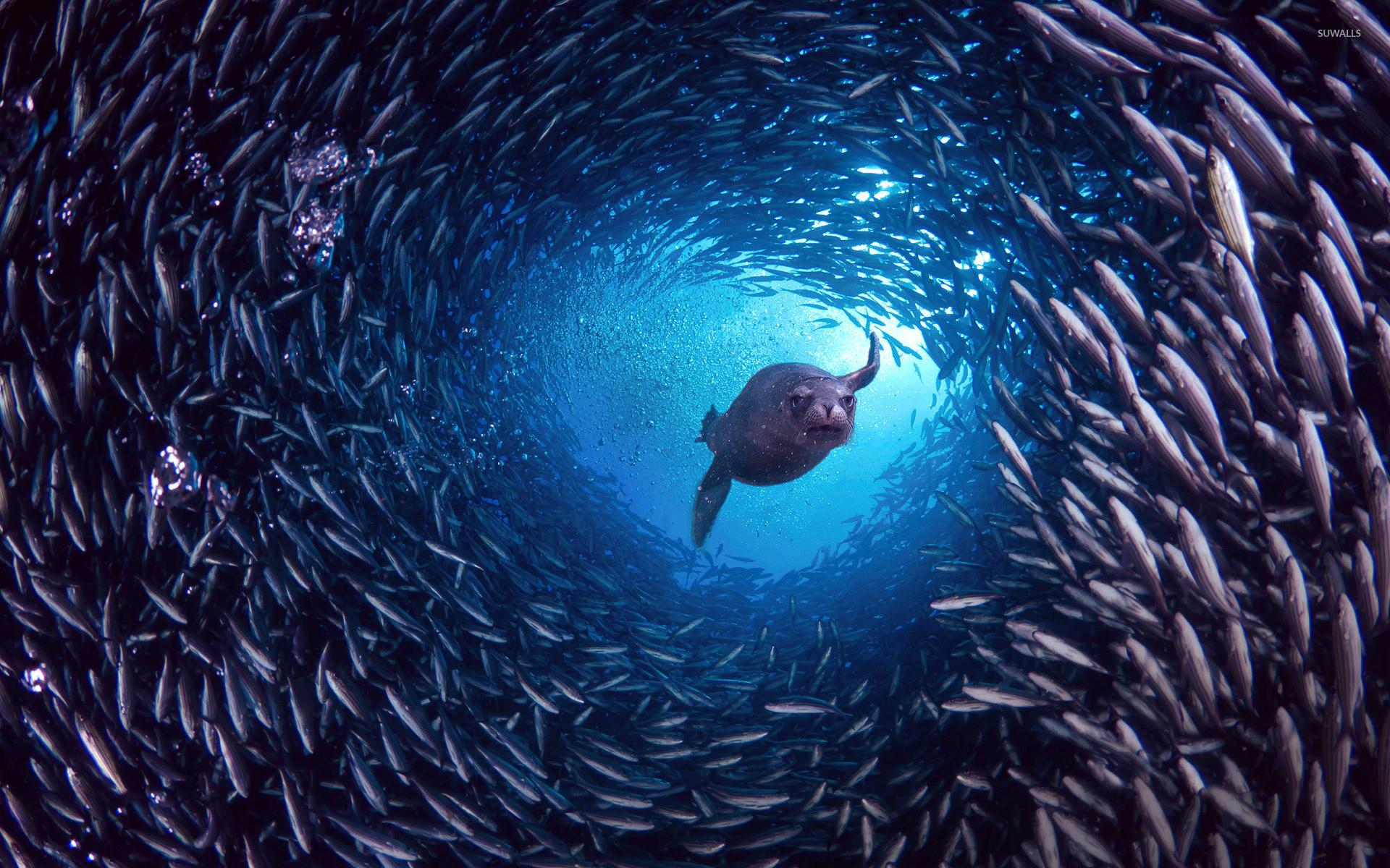 Sea Lion Wallpaper 47 Images