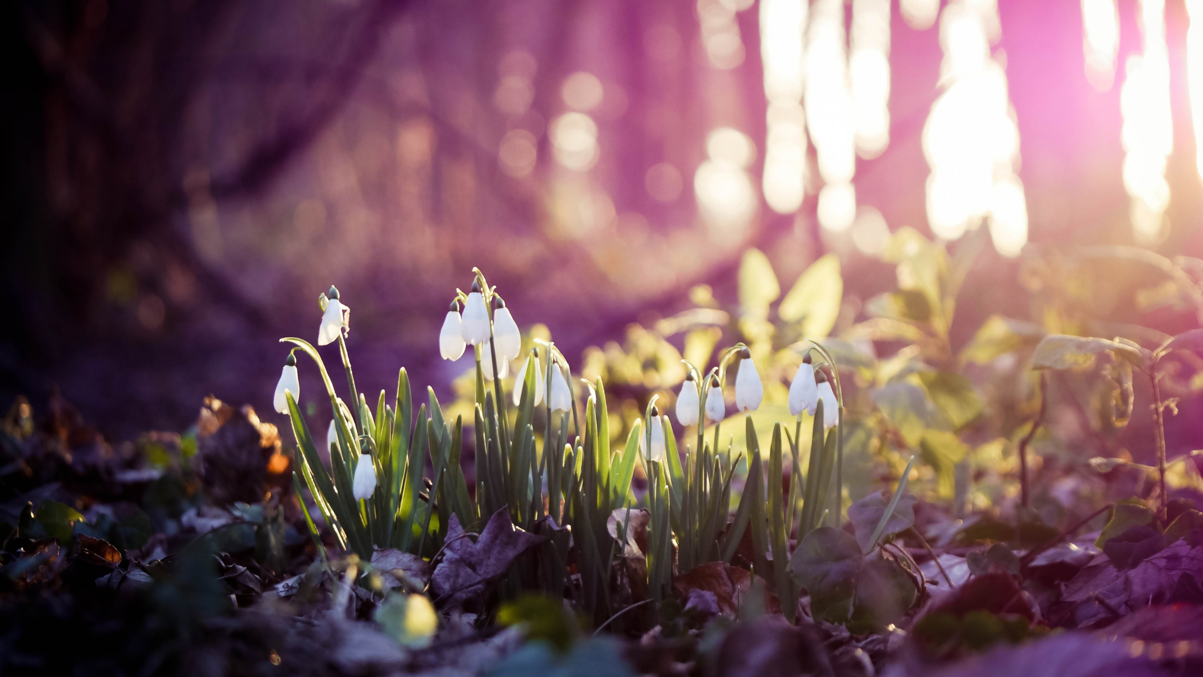 3840x2160 Preview wallpaper spring, snowdrops, flowers, wood, first