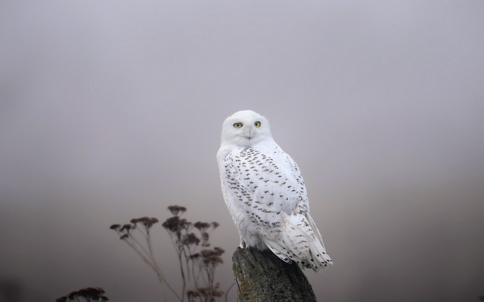 1920x1200 ... Snowy Owl Full HD Wallpaper and Background |  | ID:453731 ...