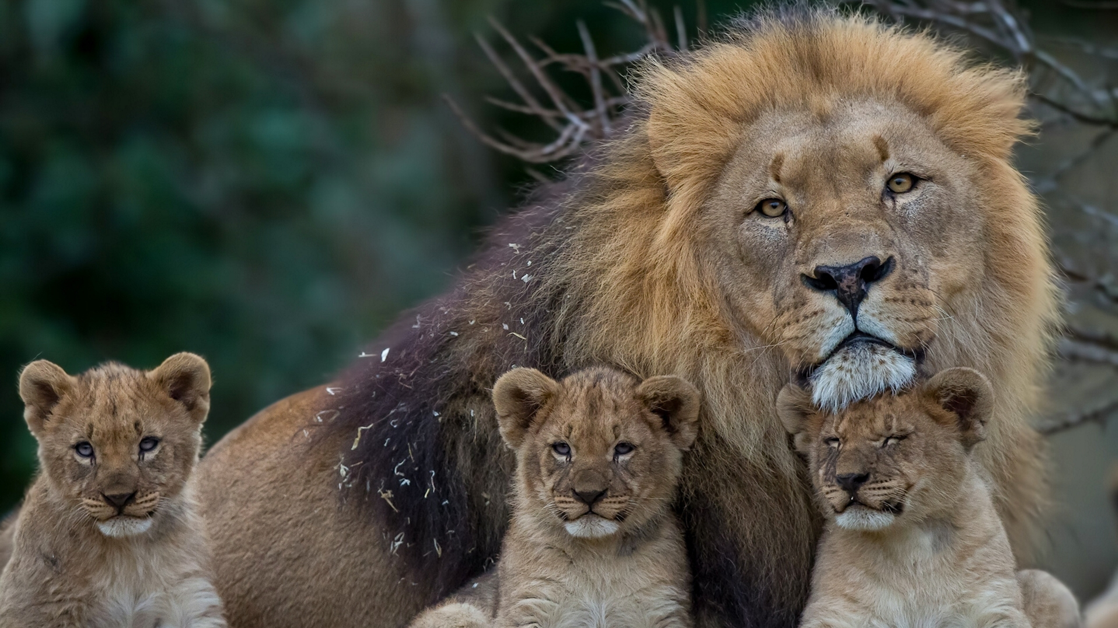 3840x2160  Wallpaper lion, lioness, young, family, predators