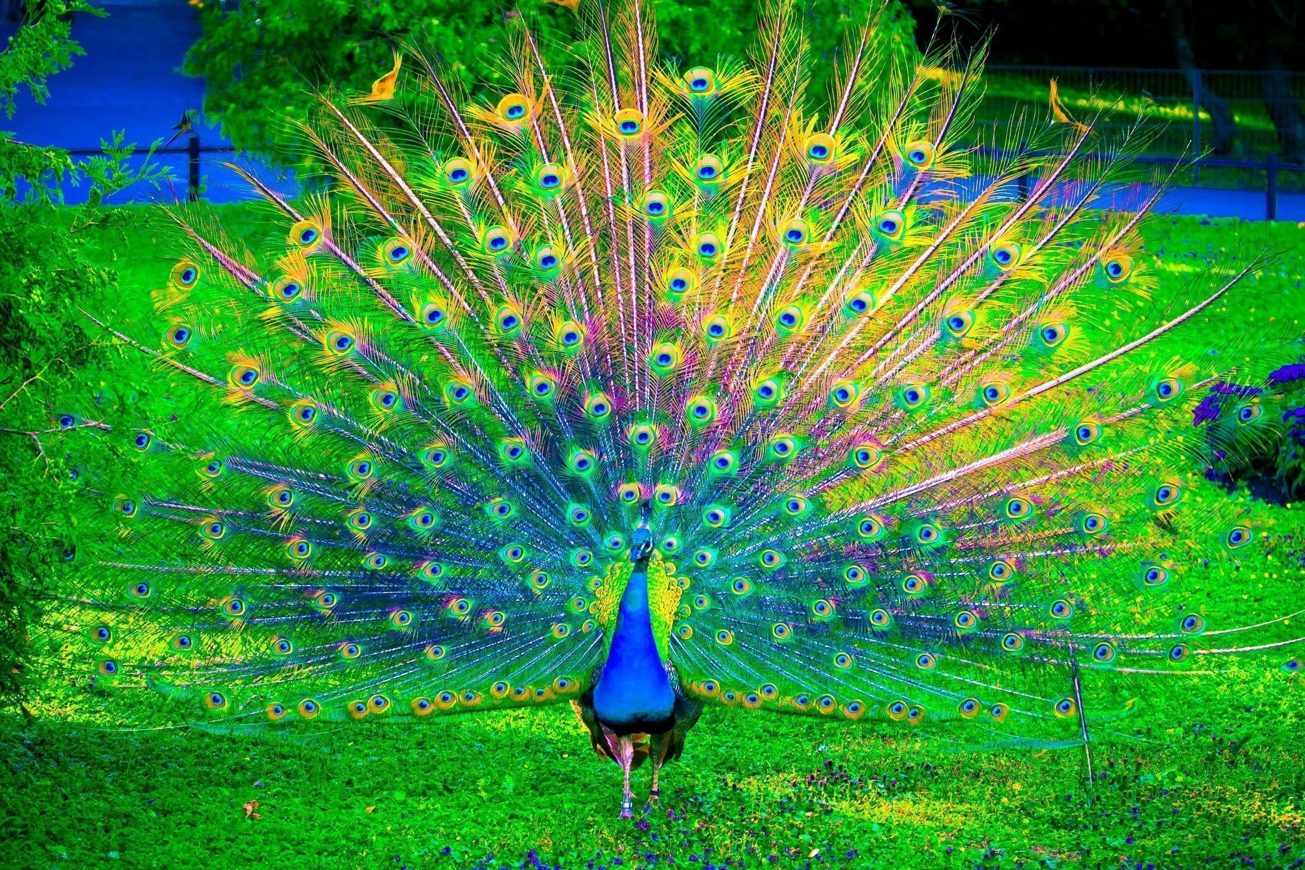 Wallpaper Peacock 63 Images