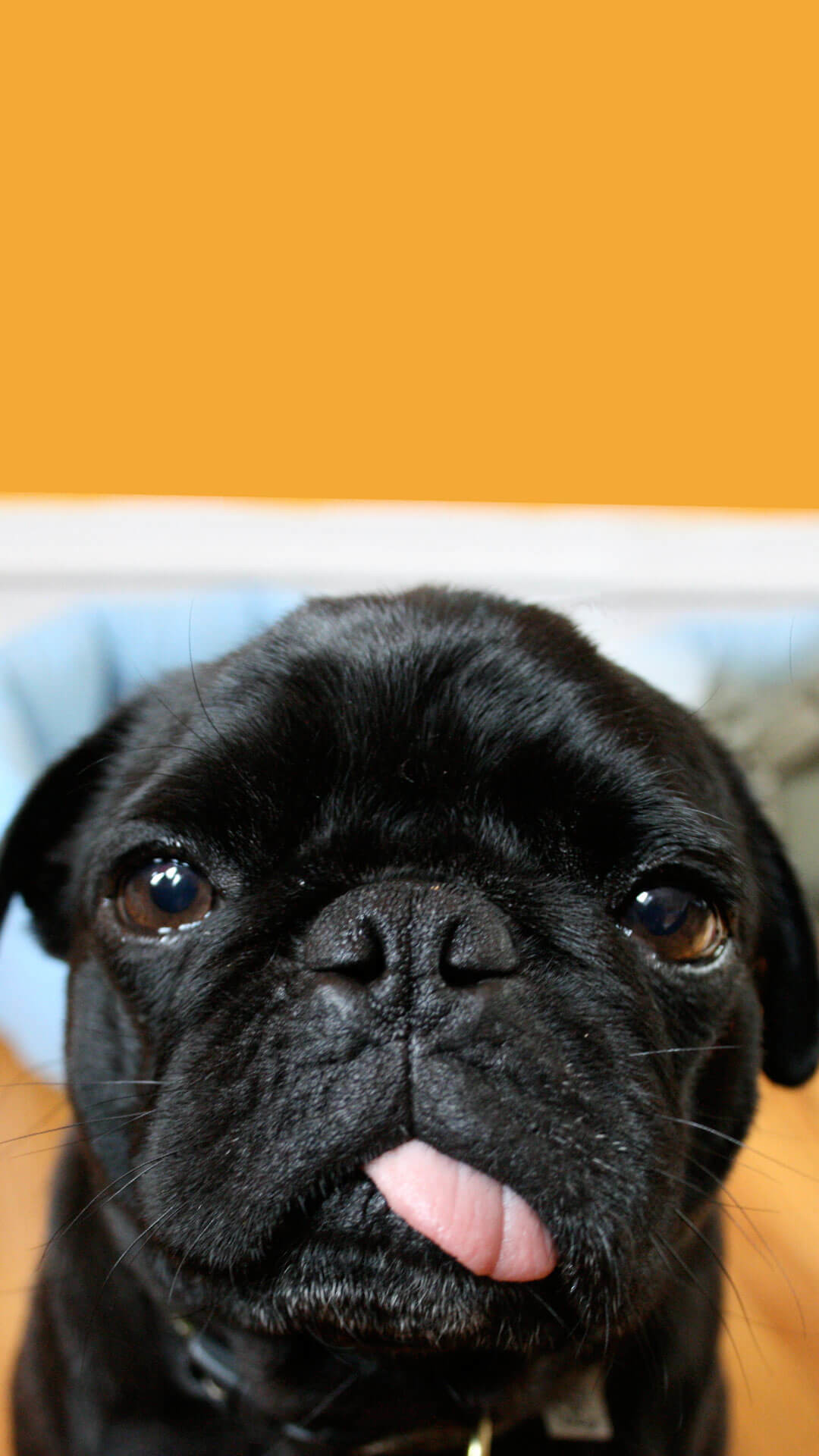 1080x1920 Cute Black Pug Wallpaper iPhone HD