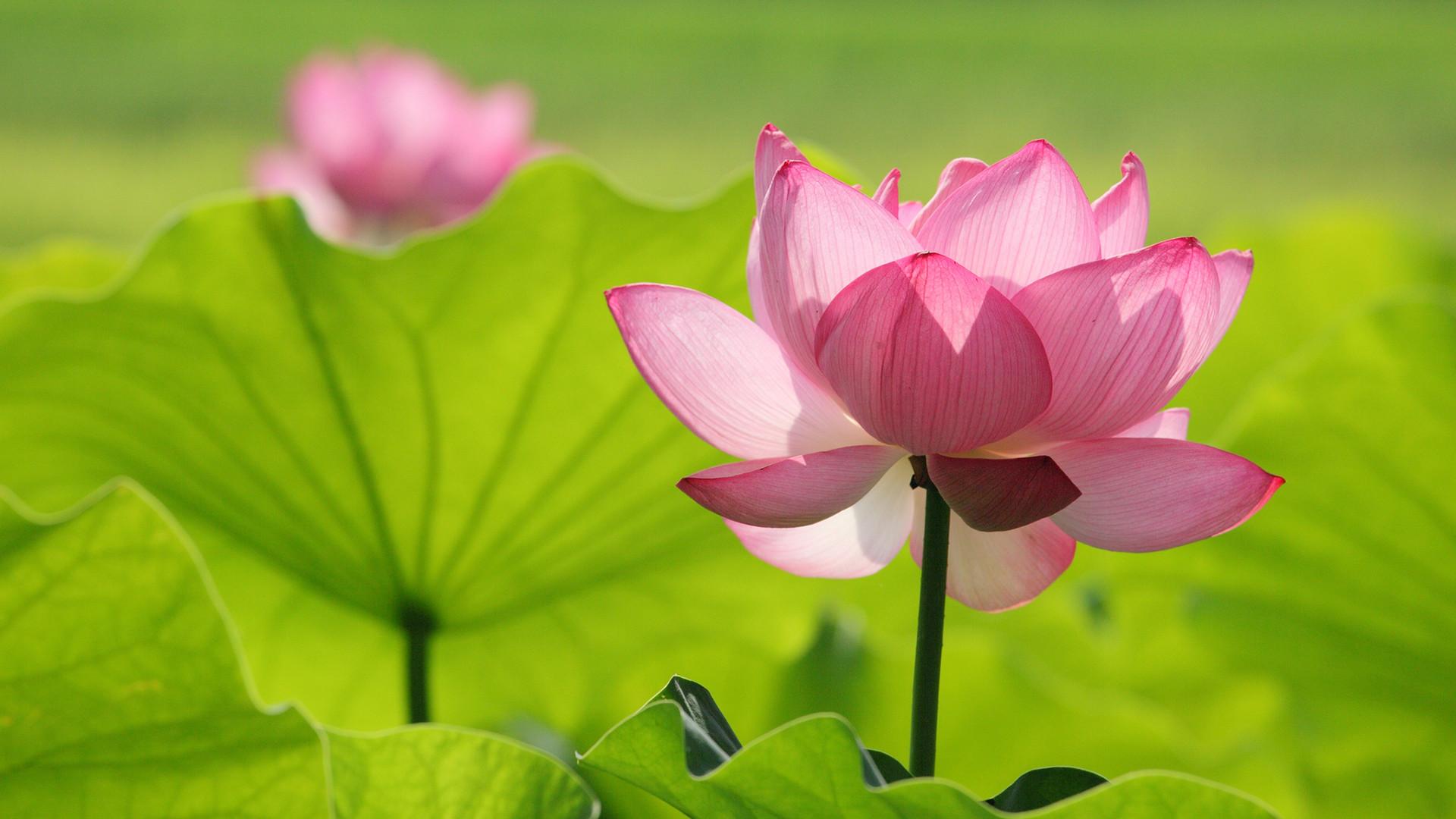 Lotus Flower Background Tattoo Flowers Healthy