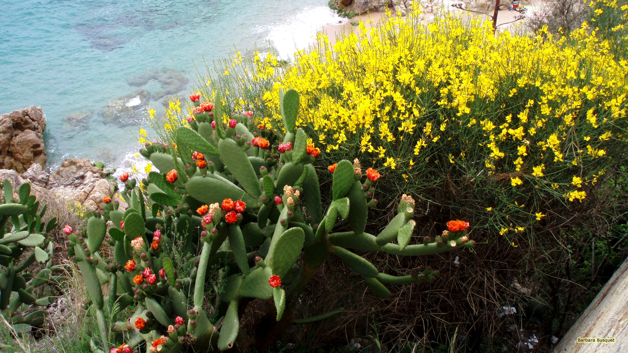 2560x1440 Cactuses and flowers at a beach in Spain. Yellow flowers, and cactuses with small  red flowers.