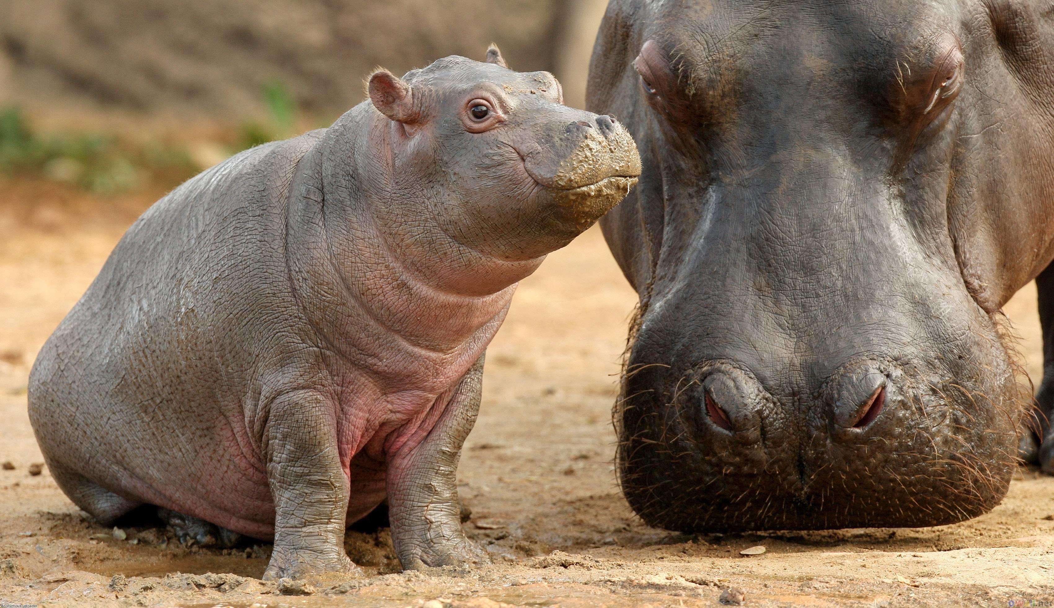 Baby Hippopotamus Wallpaper