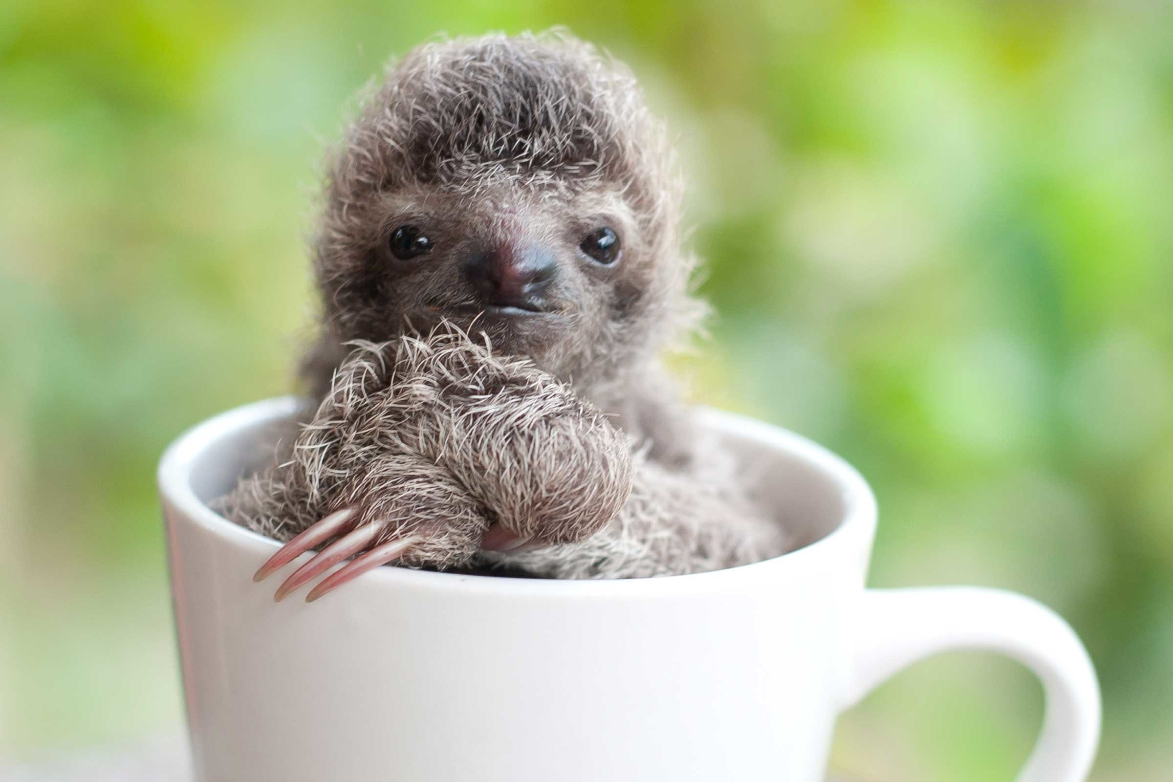 2400x1600 cute pictures of baby sloths ...