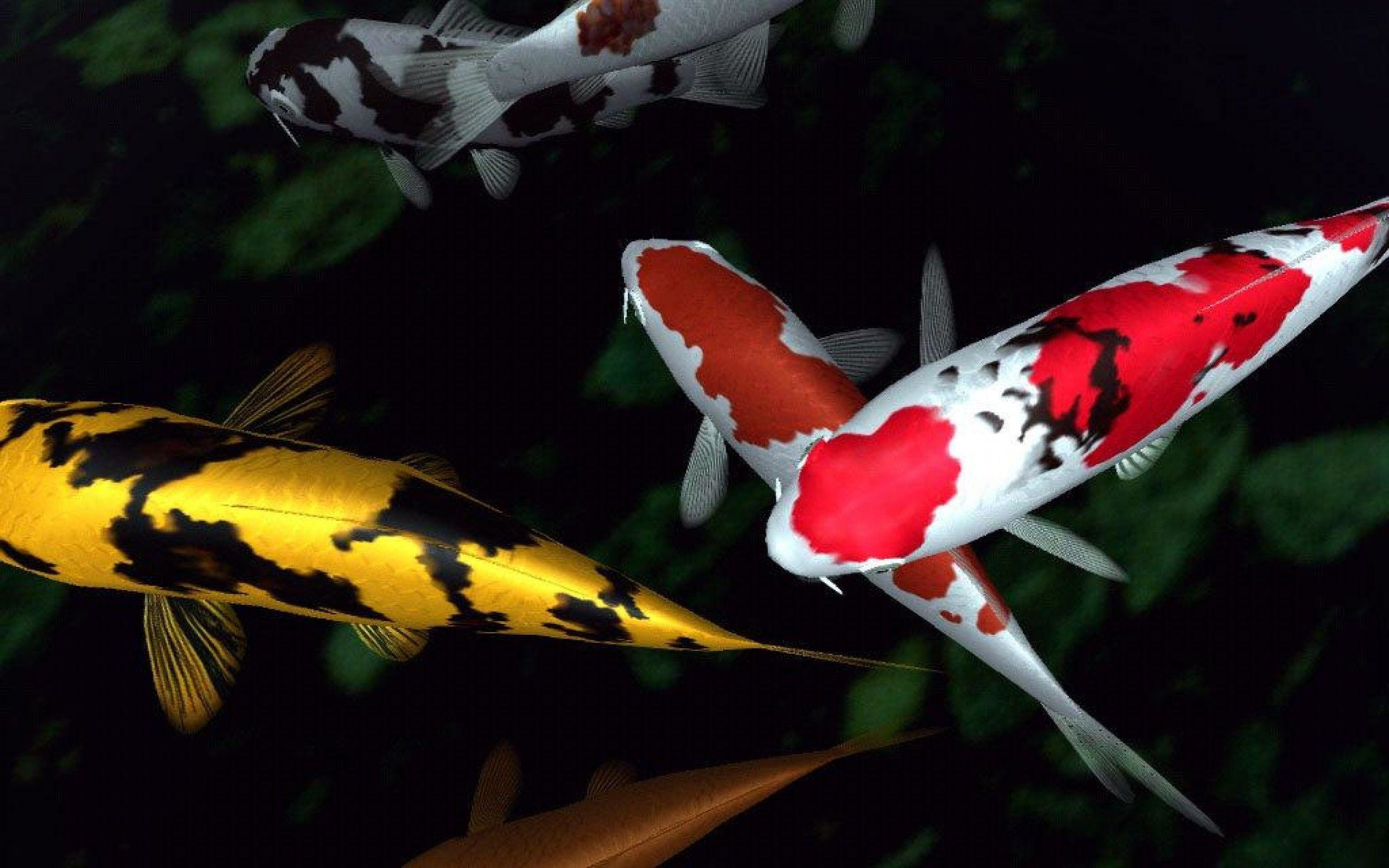 2560x1600 Koi Fish Wallpaper | Large HD Wallpaper Database