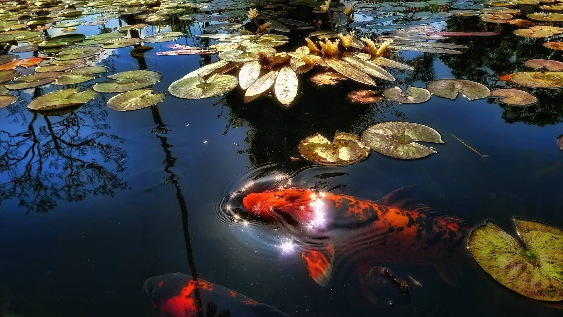 1920x1080 Koi fish in the pond wallpaper
