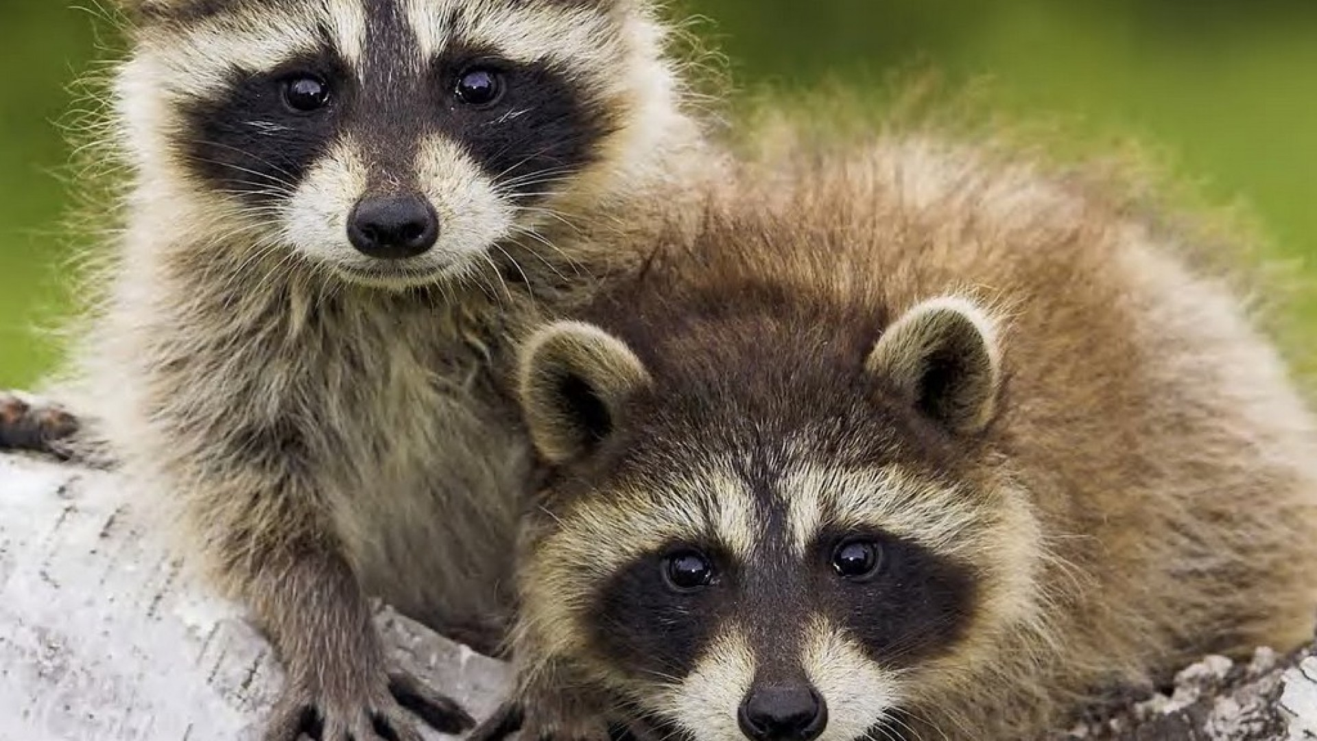 1920x1080 the-cute-raccoon-ipad-wallpaper- (1)
