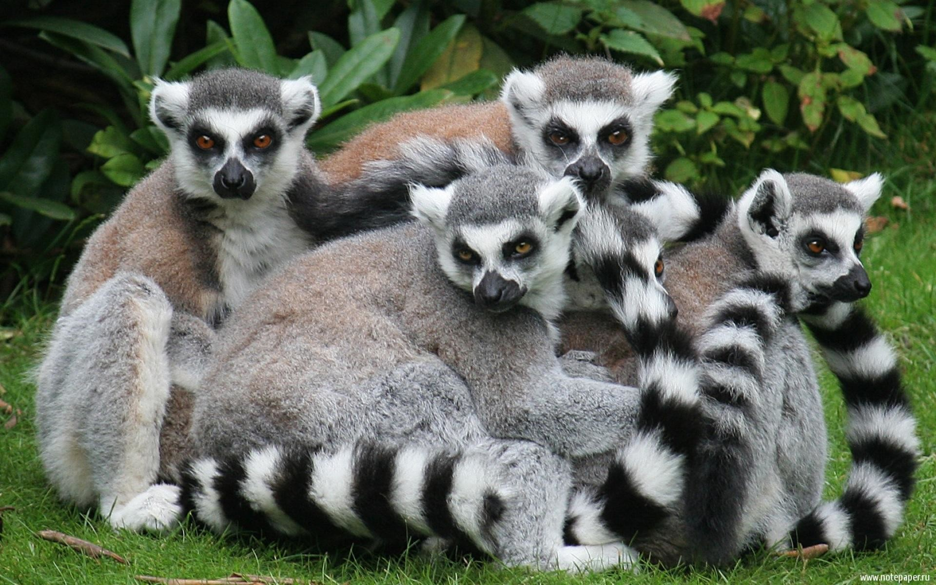 Download Lemur Wallpaper - 692089-gorgerous-lemur-wallpaper-1920x1200  Perfect Image Reference_884270.jpg