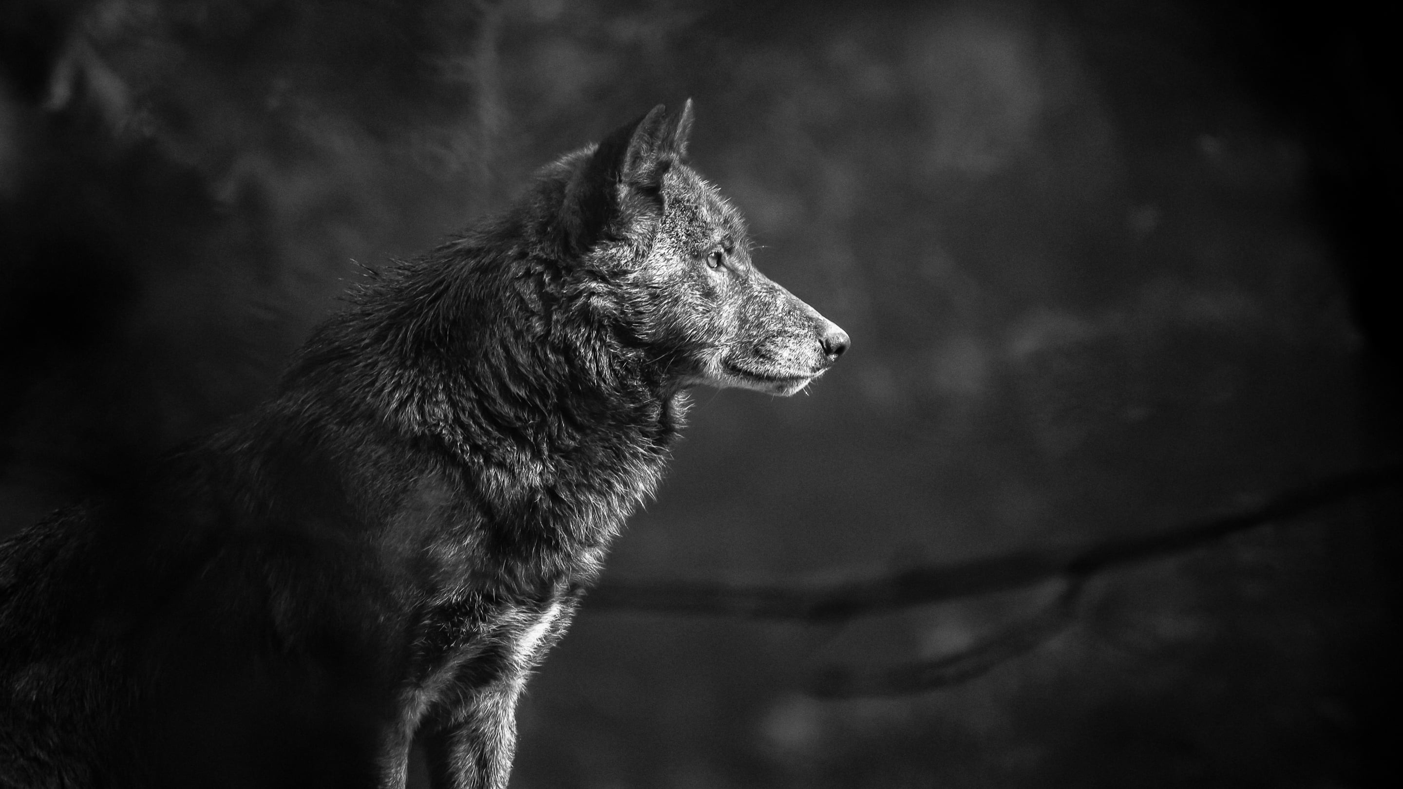 Timber Wolf Wallpaper 66 Images