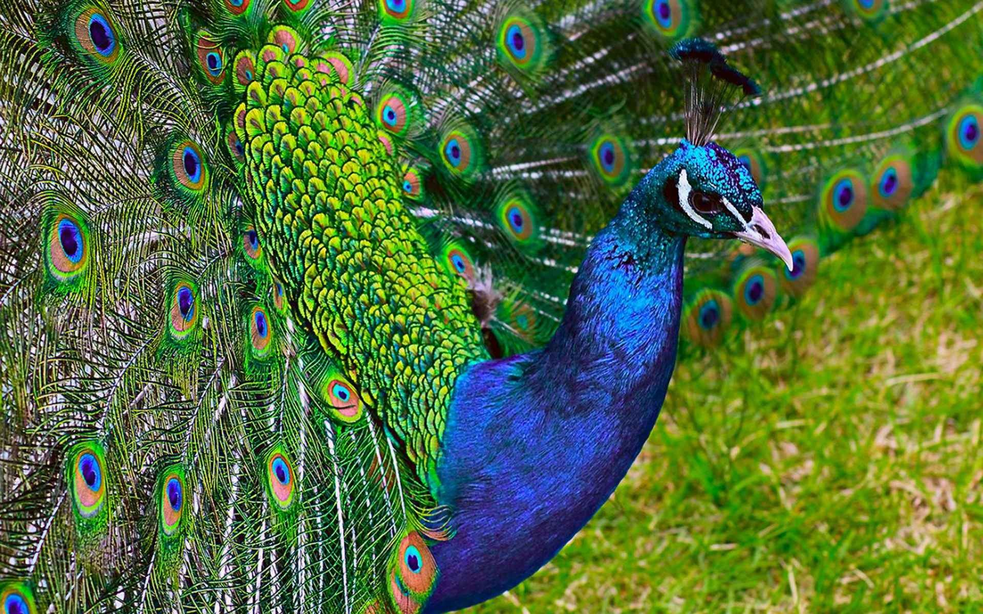 wallpaper peacock (63+ images)