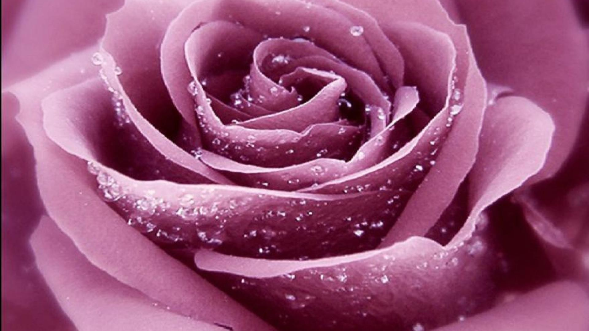 Purple Roses Background Images: Dark Purple Roses Wallpaper (46+ Images