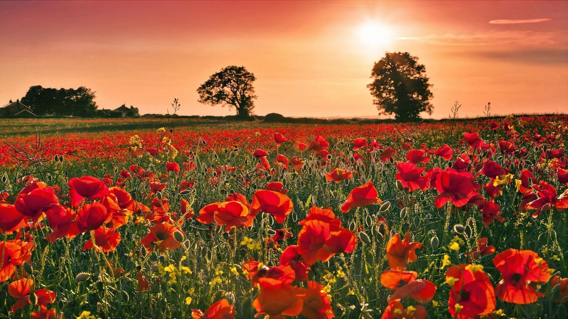1920x1080 Poppy Flower Windows 8 HD Theme and Desktop | Download free .