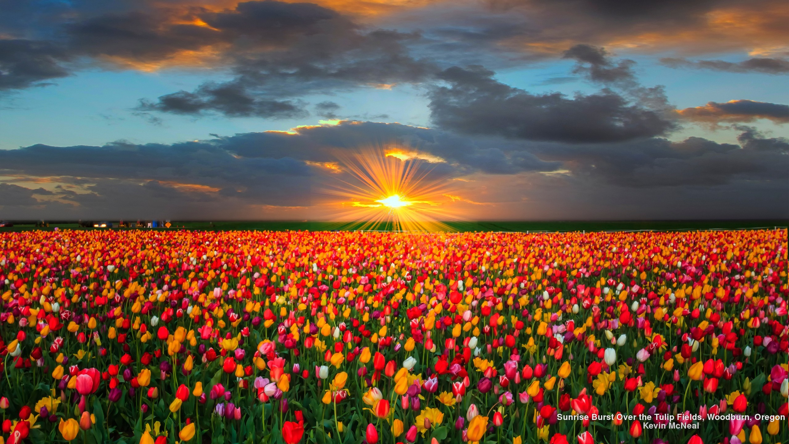 tulip desktop field fields flowers wallpapers sunflower tulips background flower sunset pink sunrise oregon sun colorful burst nature webshots gardens