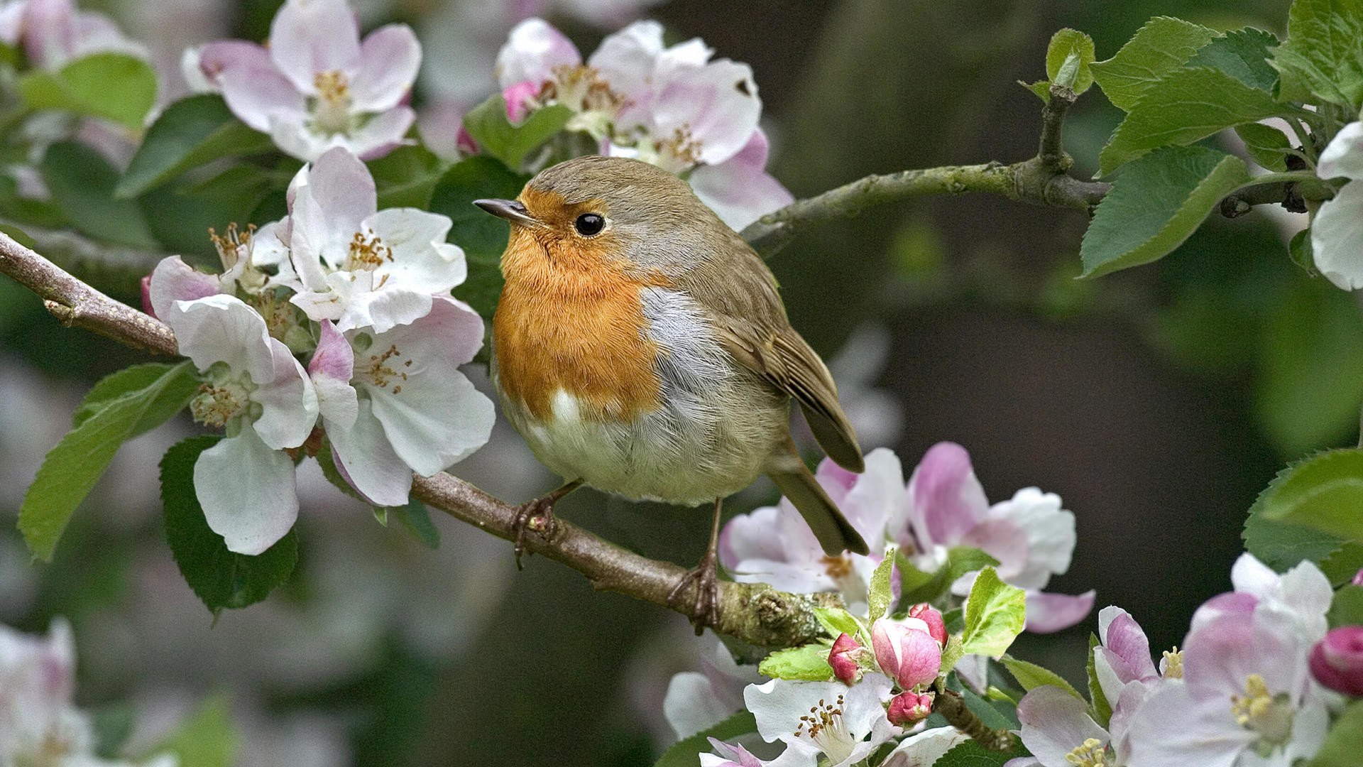 1920x1080 Spring birds and flowers wallpaper - photo#15