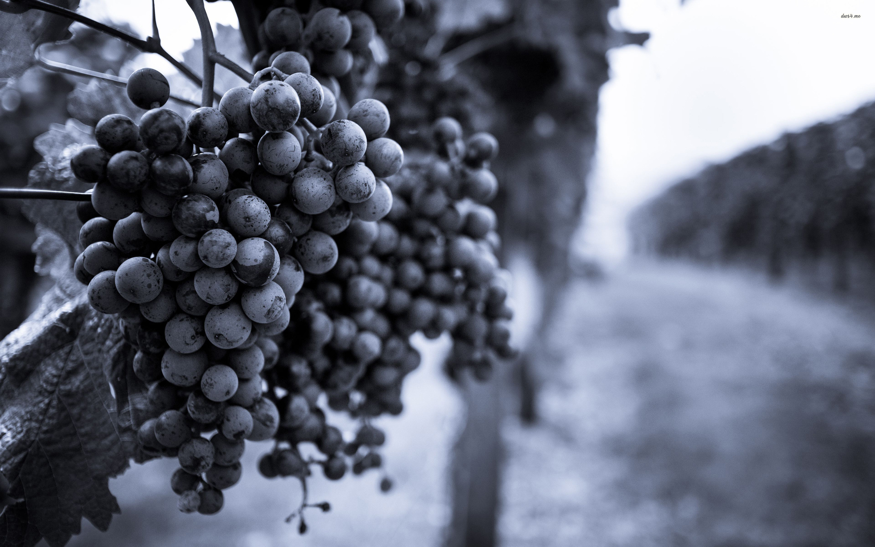 2880x1800 ... Grapes in the vineyard wallpaper  ...