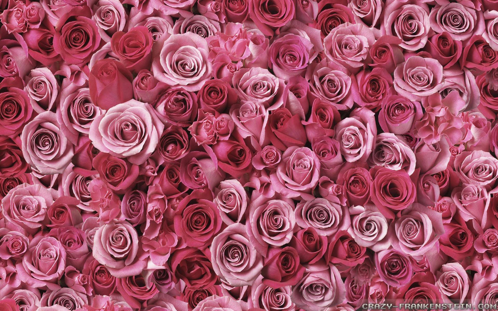 Pink Rose Flower Wallpaper 52 Images