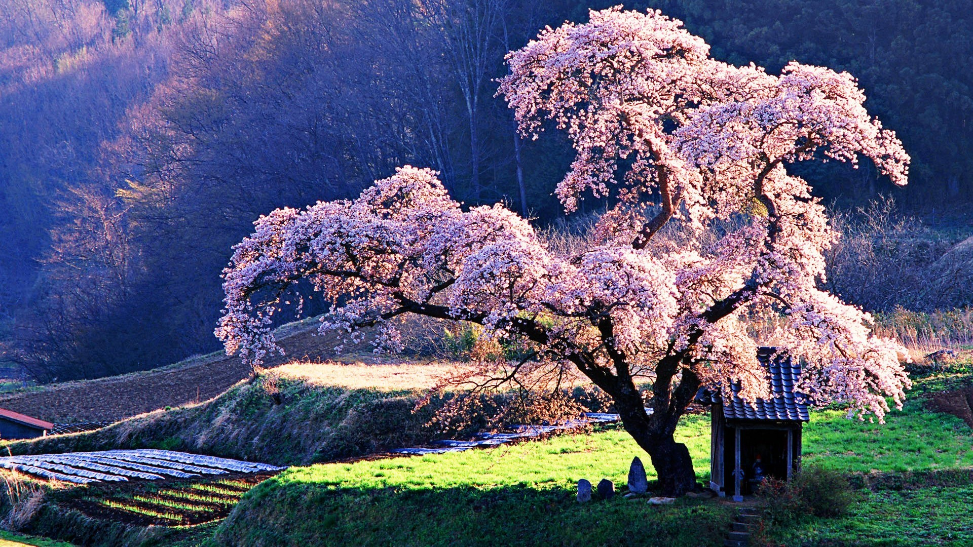 1920x1080 Japanese-Cherry-beautiful-tree wallpaper HD [1920*1080] ...