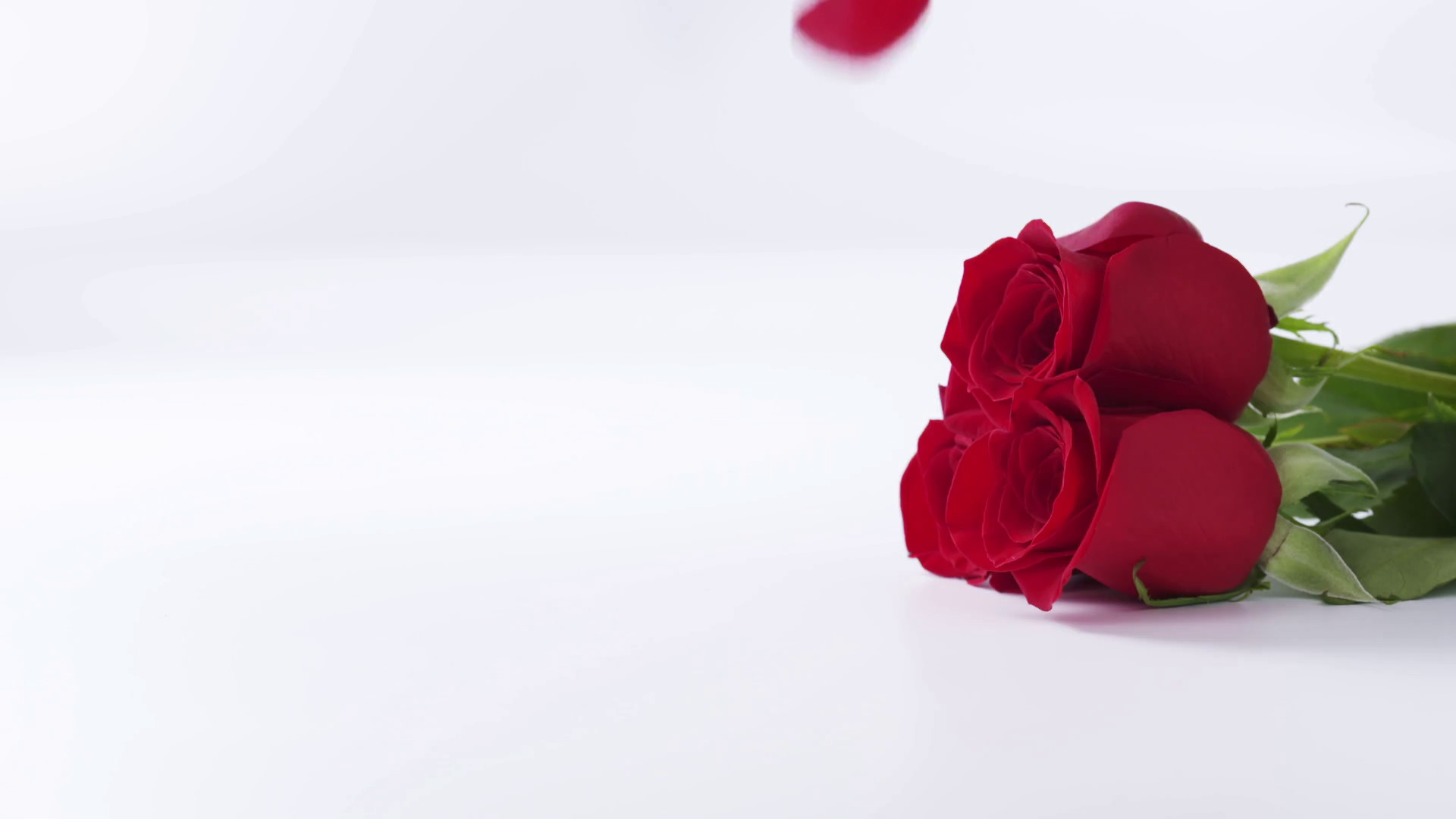 1920x1080 Slow motion of three red roses with falling petals on white background,  180fps prores footage Stock Video Footage - Storyblocks Video