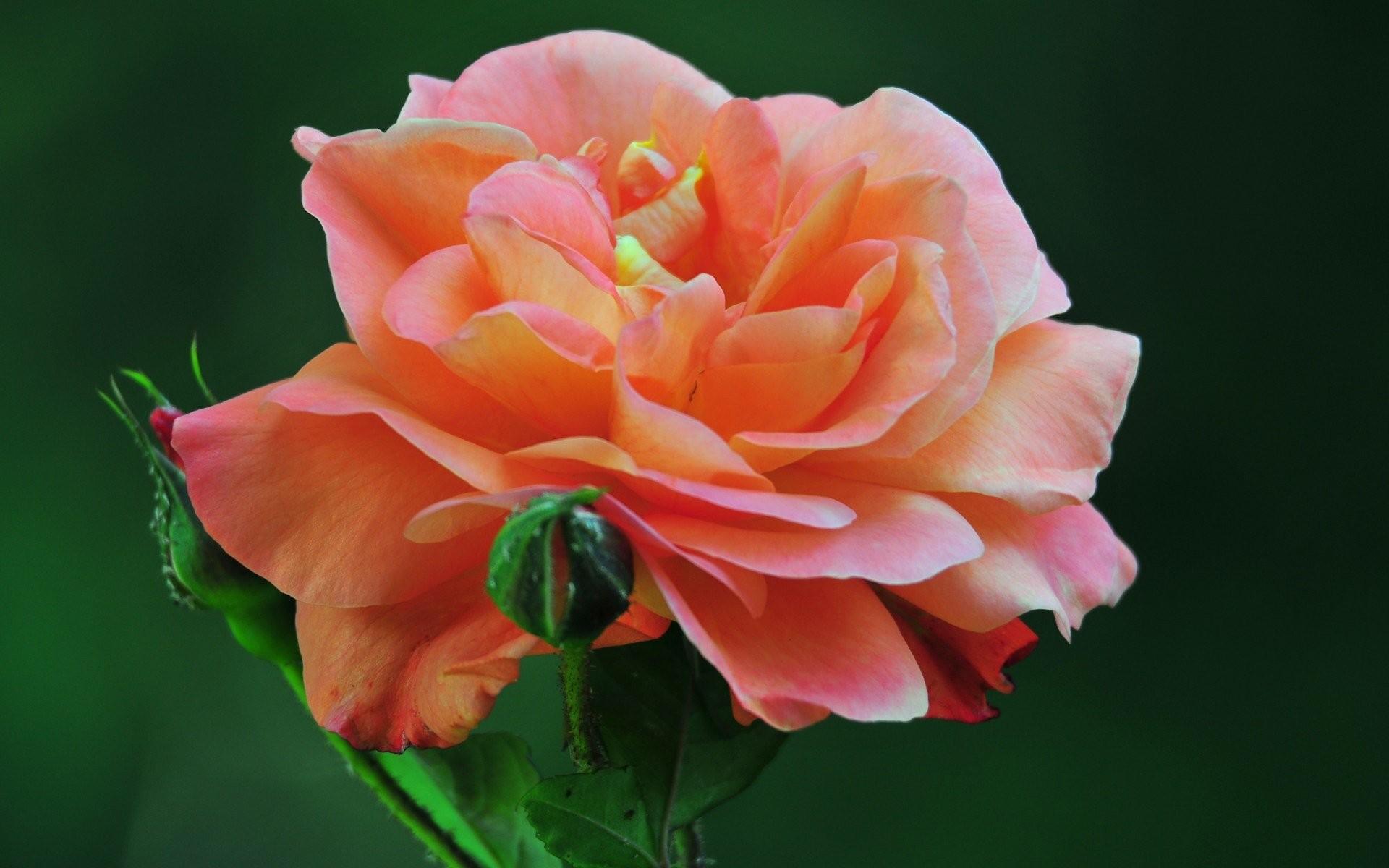 Beautiful rose flowers wallpapers 52 images 2500x1562 image wallpaper rose flowers for pc mac tablet laptop download izmirmasajfo