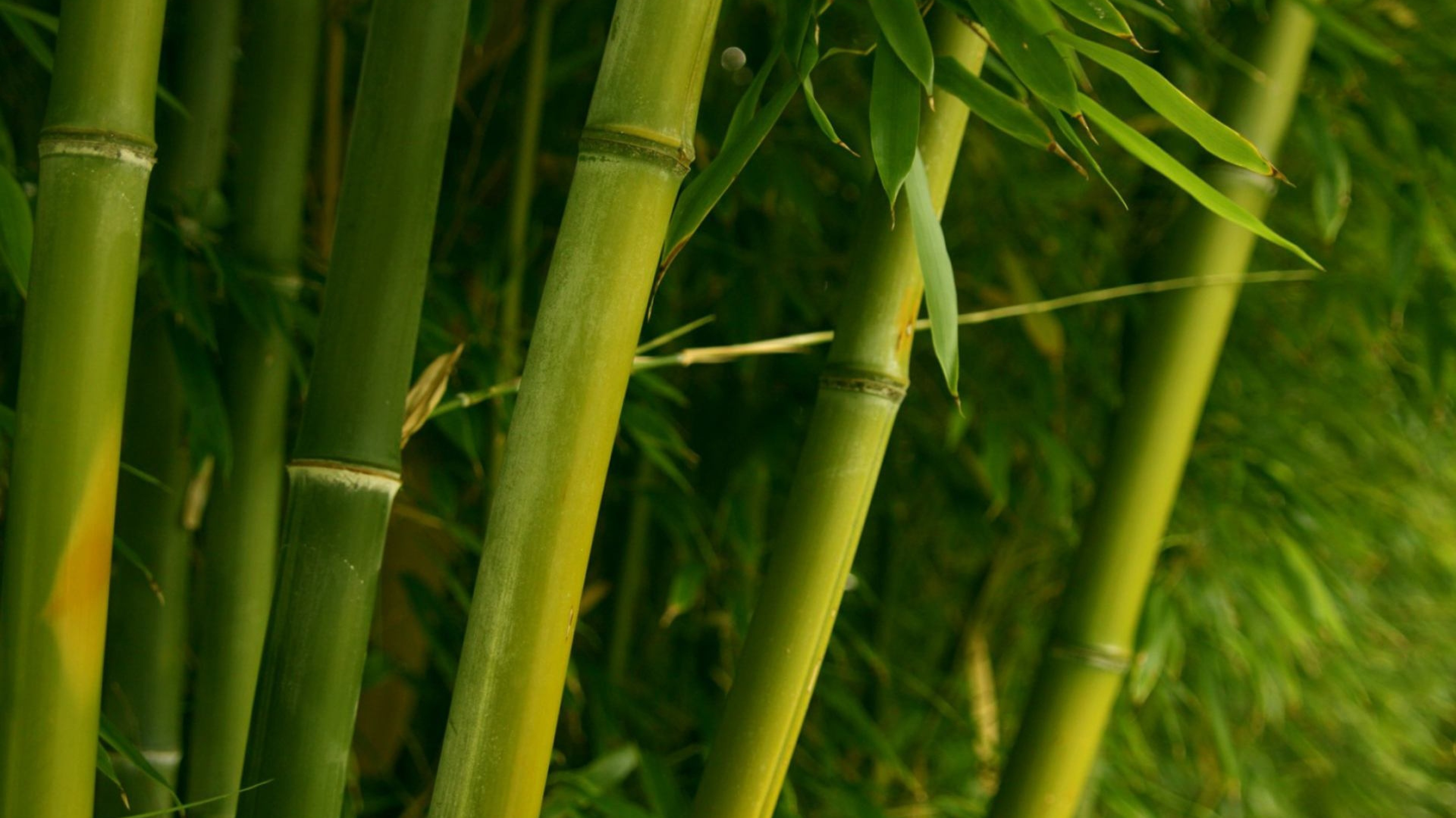 3840x2160 Free-Desktop-Bamboo-Wallpaper-HD