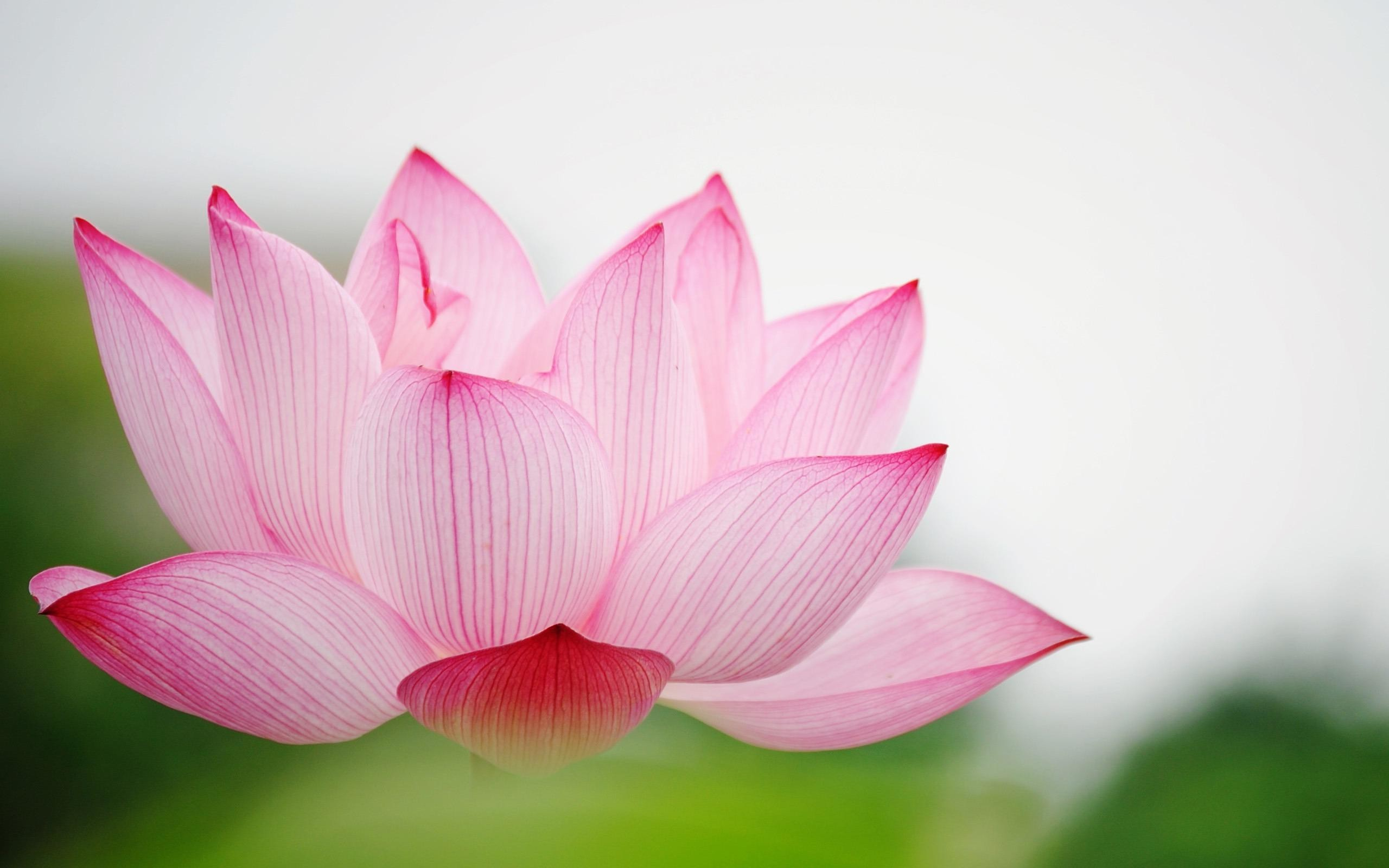 Lotus Flower Background For Iphone Flowers Healthy